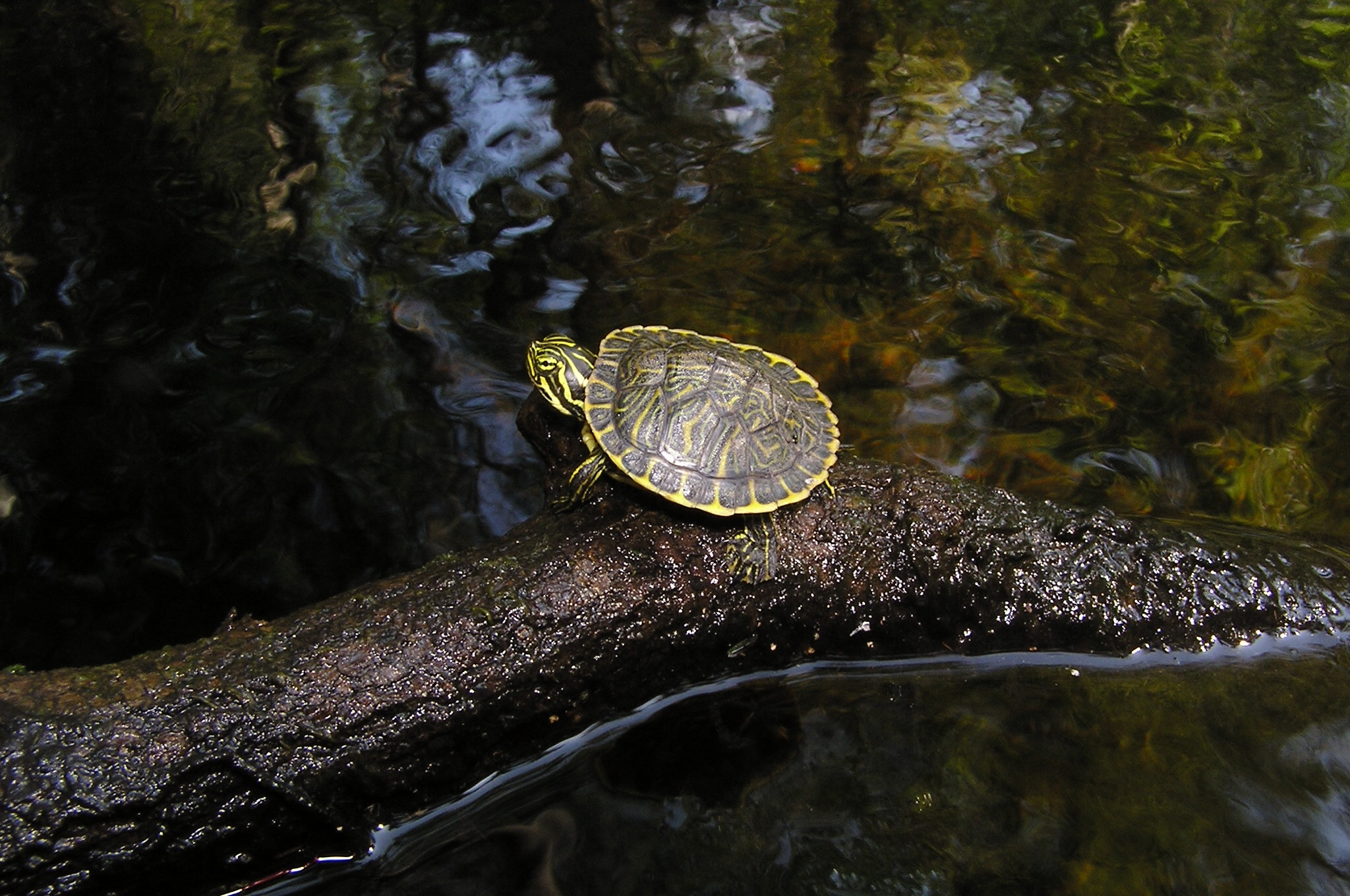 Last year's baby peninsula cooter, approximately two inches long.