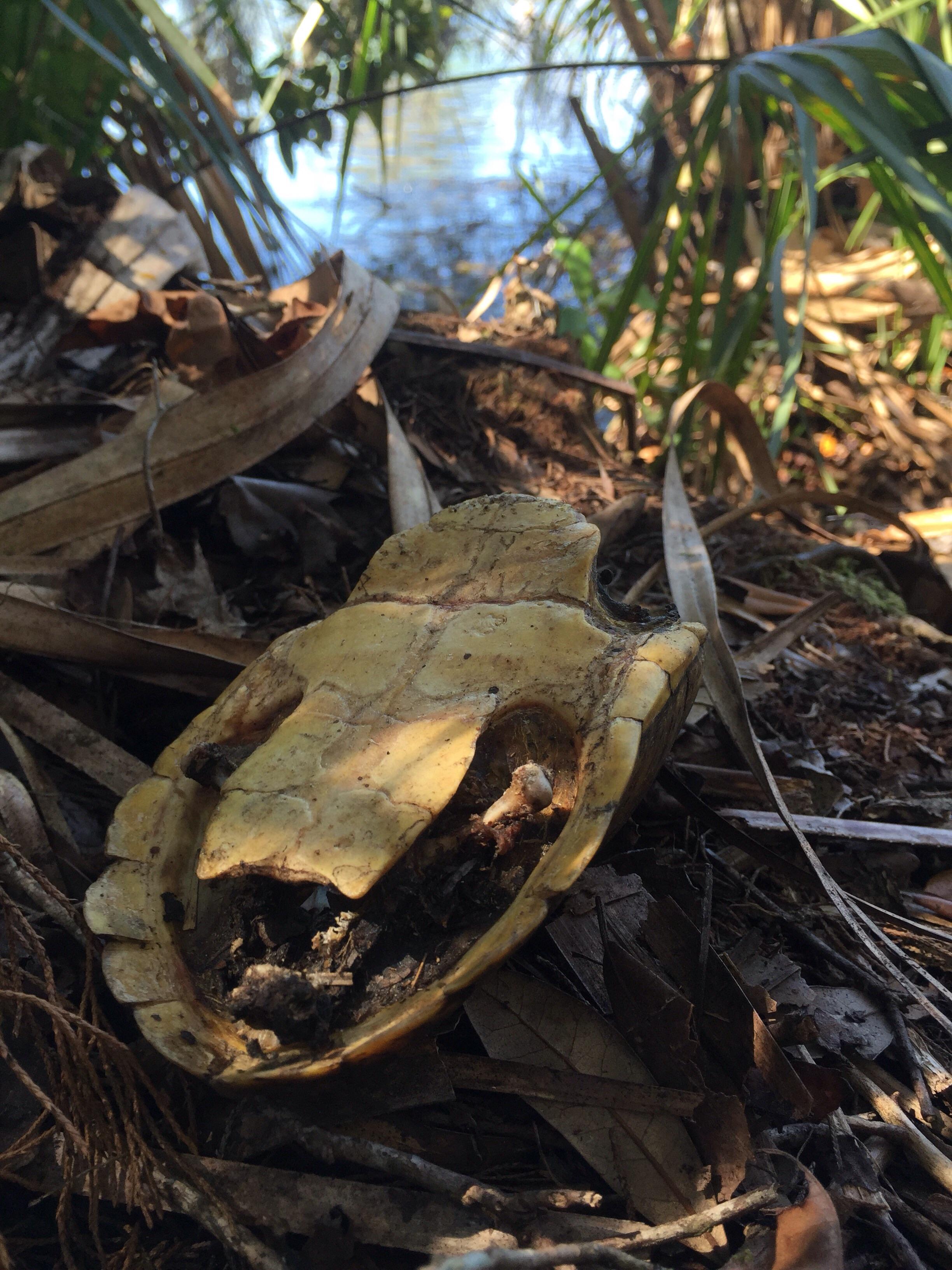 A shell of a loggerhead musk turtle.