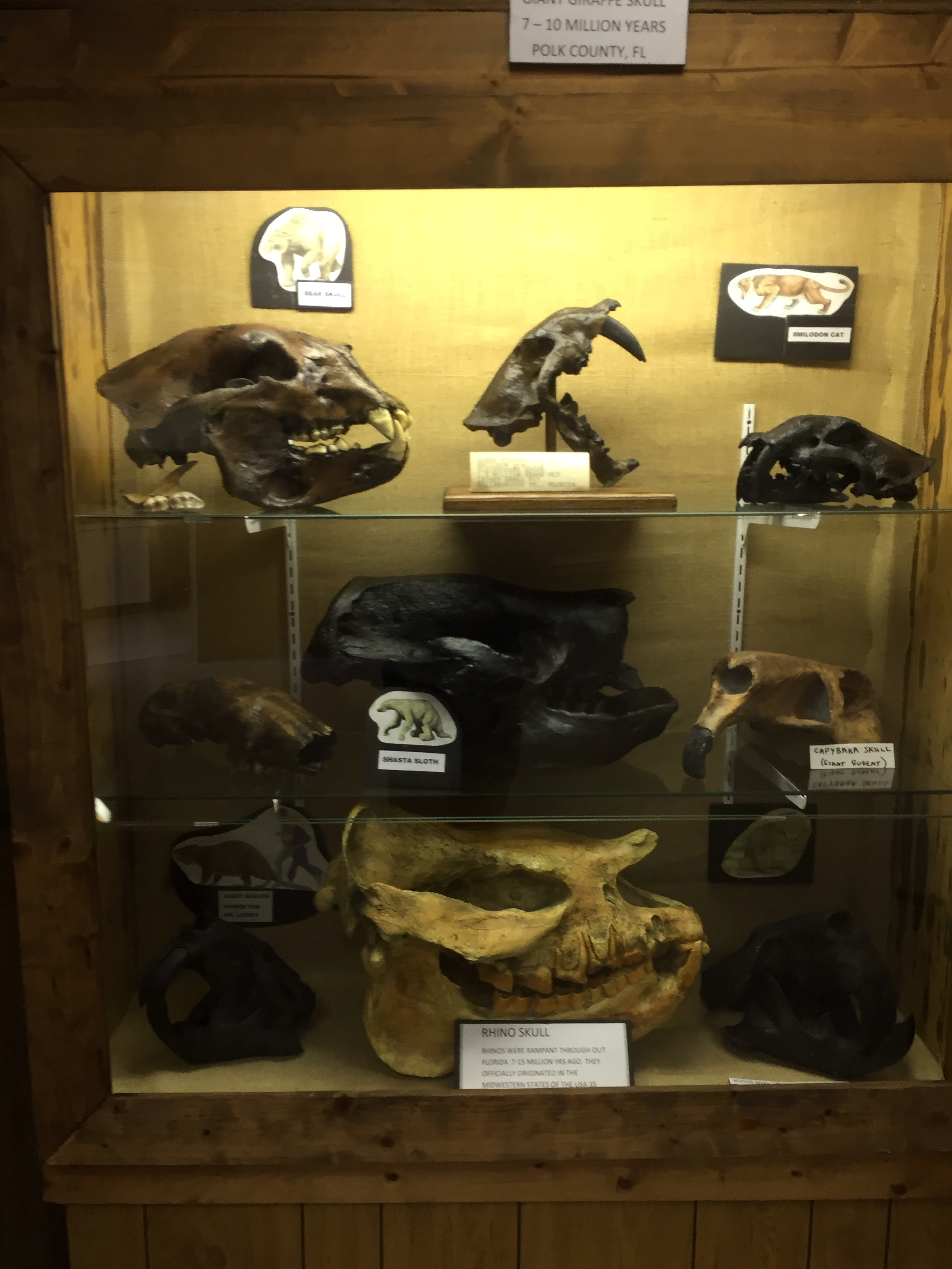 Various mammal fossils found in Florida.