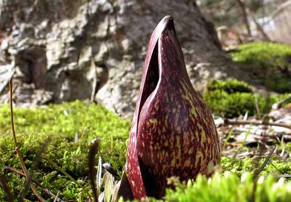 Flies are drawn to the skunk cabbage flower by its fetid smell. They sometimes lay eggs inside it, mistaking it for rotting meat.   Photo by  Sue Sweeney