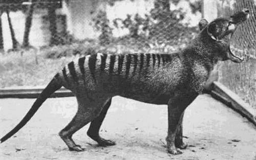 The last known Thylacine, extinct because of overhunting, habitat loss, and competition with invasive species.