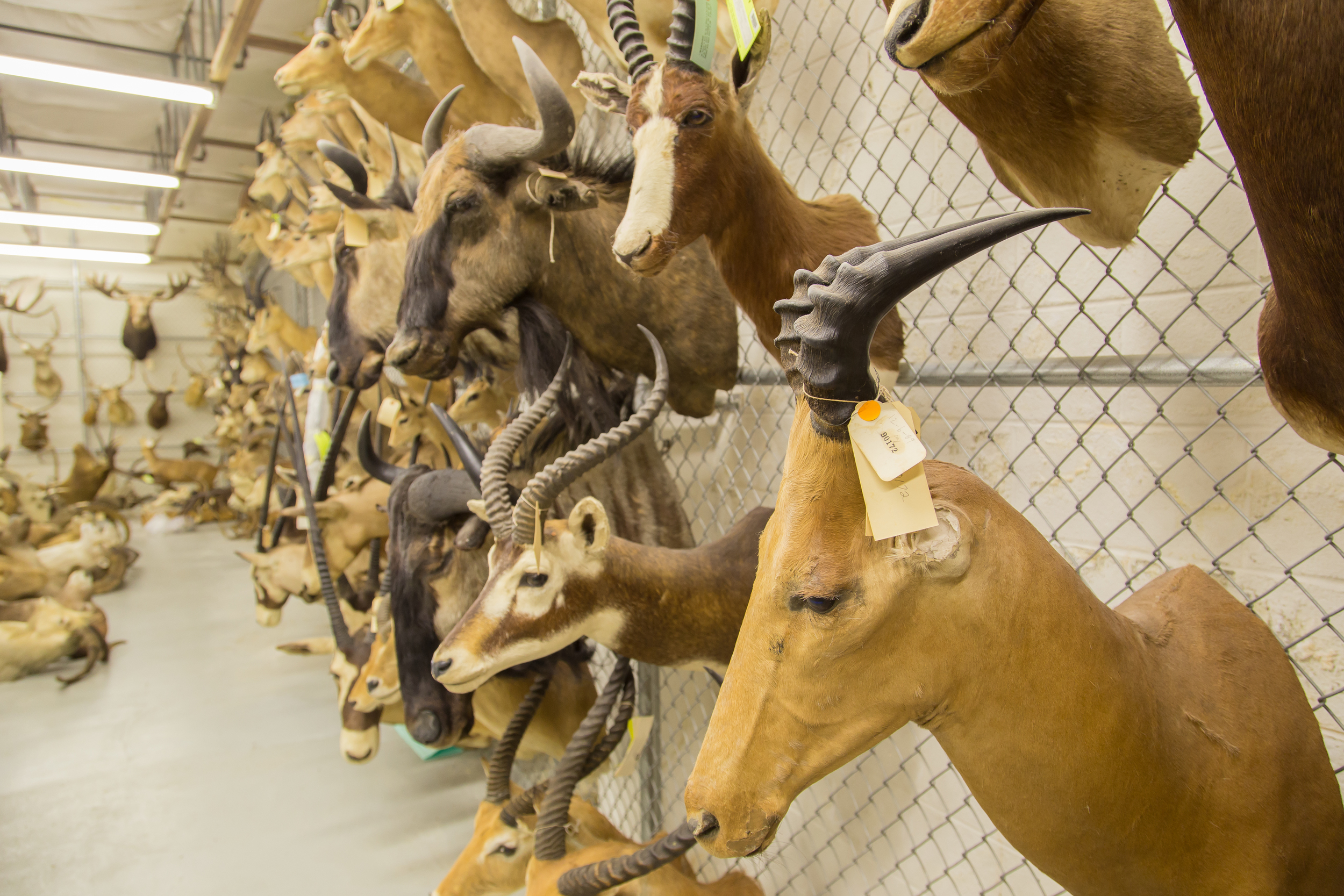 These taxidermy mounts are being investigated by the US Fish & Wildlife Forensic Laboratory.