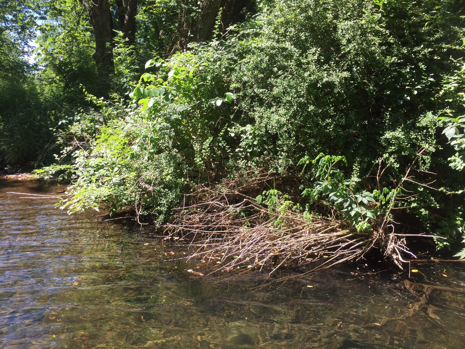 Wood turtles will frequently hibernate in groups due to the few optimal places to do so. Under this overhanging bush is where many individuals have been found during their winter sleep.Photograph by Timothy J. Walsh