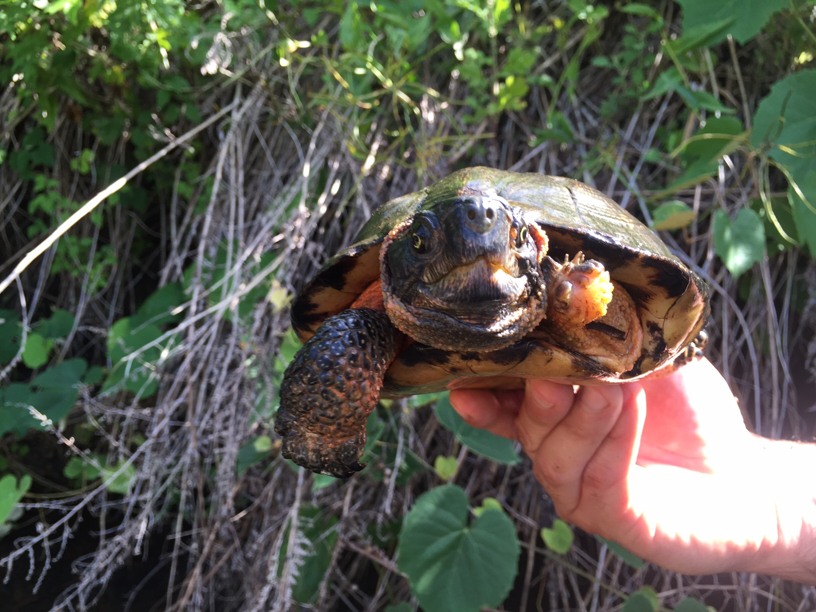 A male wood turtle showing a missing front foot, likely due to a predator.Photograph by Timothy J. Walsh