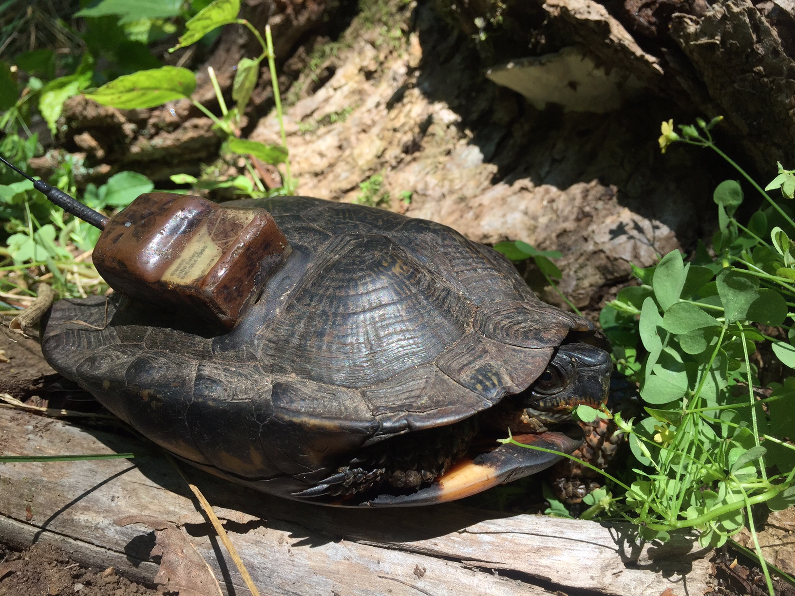 Female wood turtle showing the attached radio transmitter. Photograph by Timothy J. Walsh
