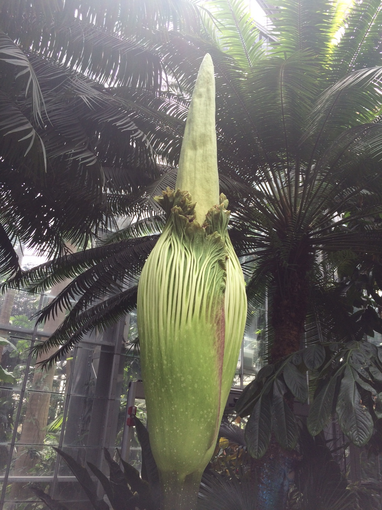 I saw this corpse flower at the US Botanical Gardens!