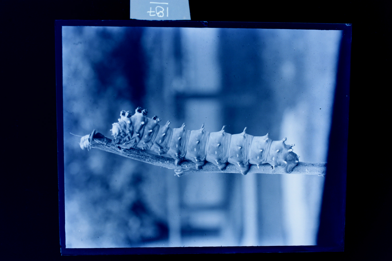 Howes caterpillar.jpg