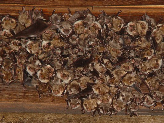 Greater mouse-eared bats enjoy chowing on spiders, beetles, and centipedes. Photo by Mnolf.
