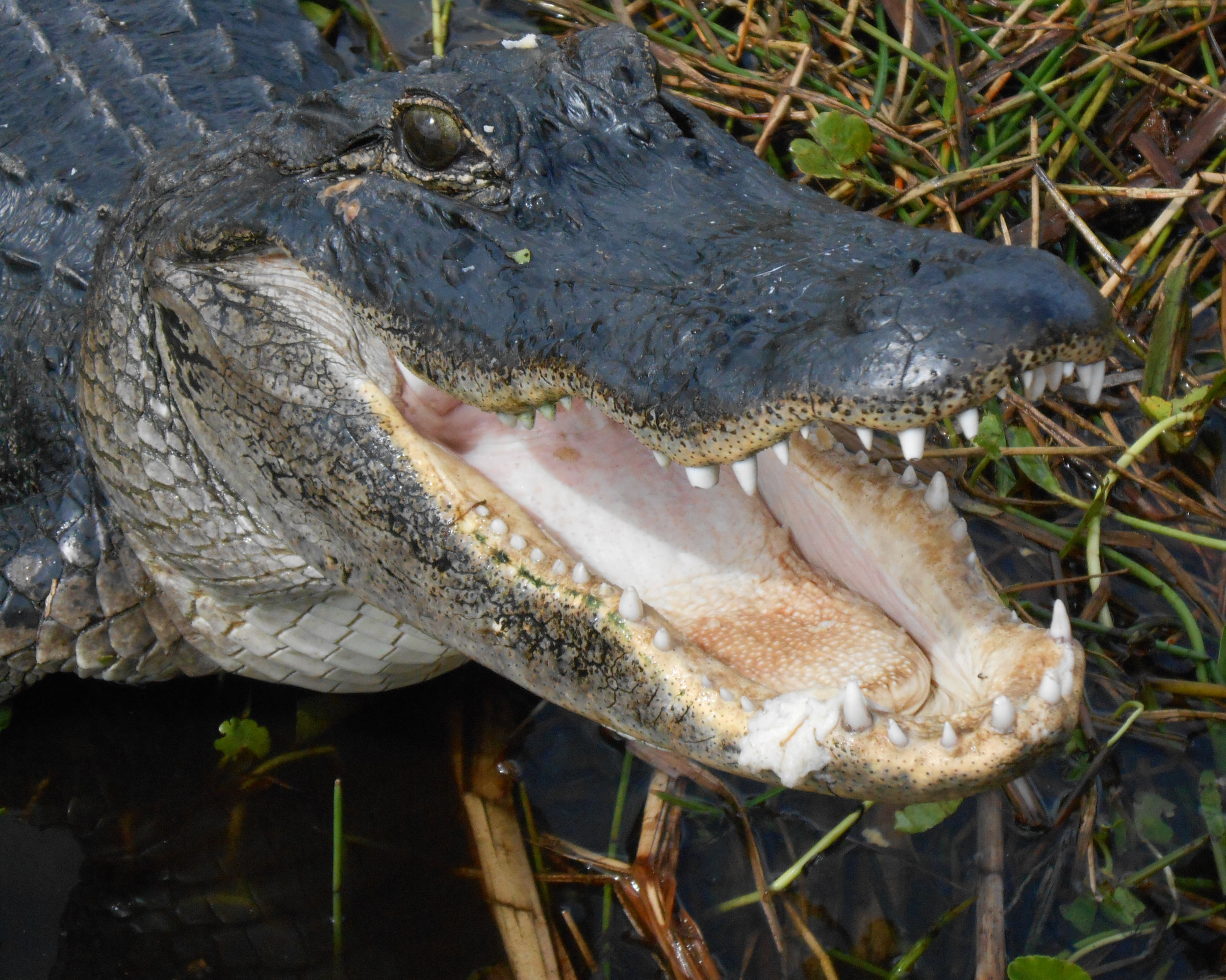 American alligator. Image by Djngsf