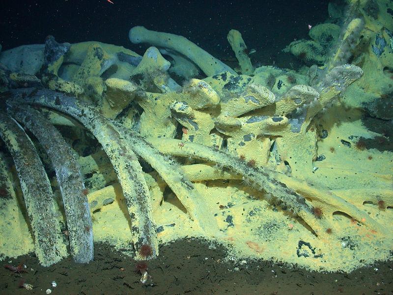 Bacterial mats coating gray whale bones at 5,500 ft below sea level.