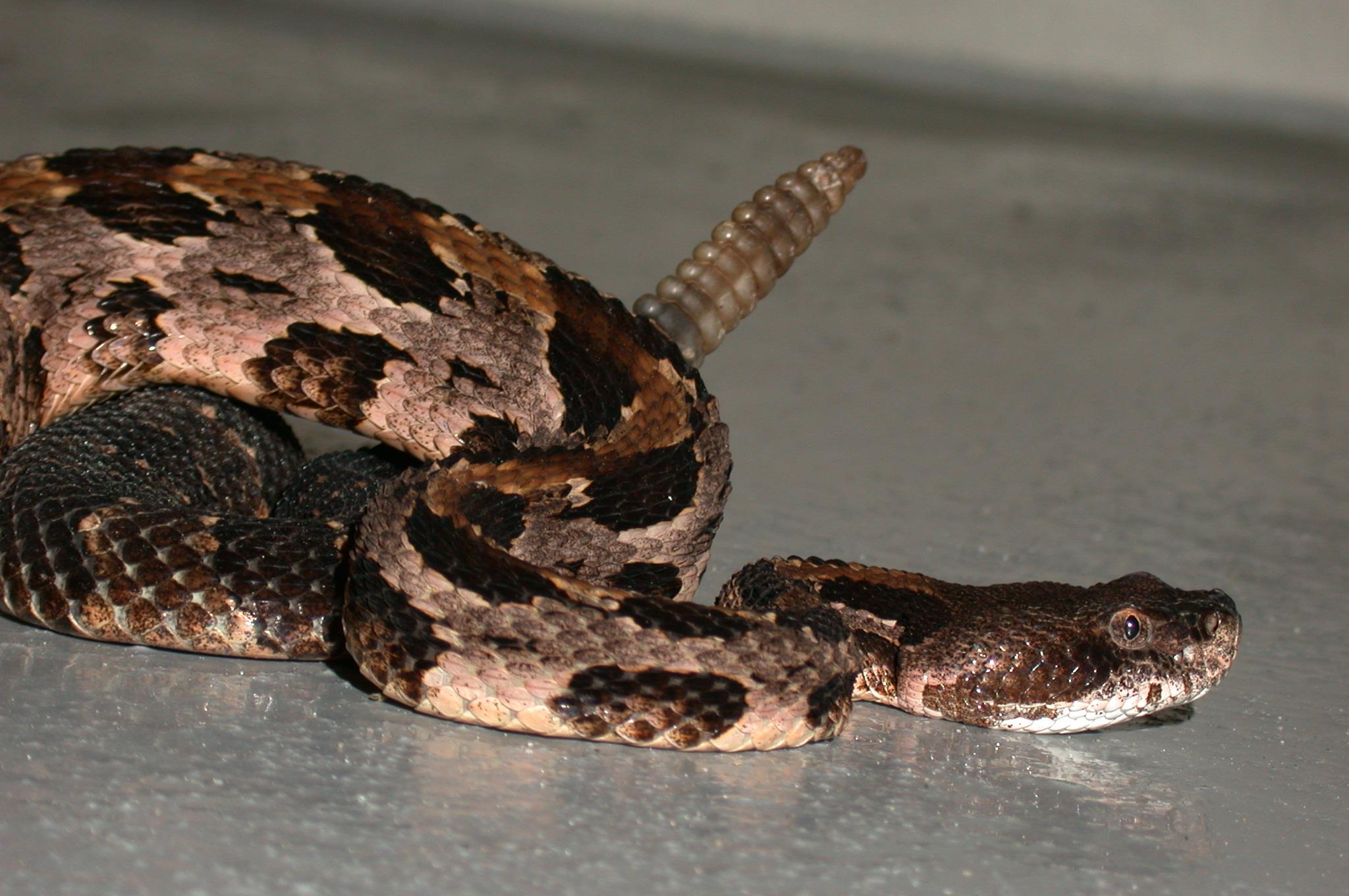 Timber rattlesnake. Image by Tim Walsh