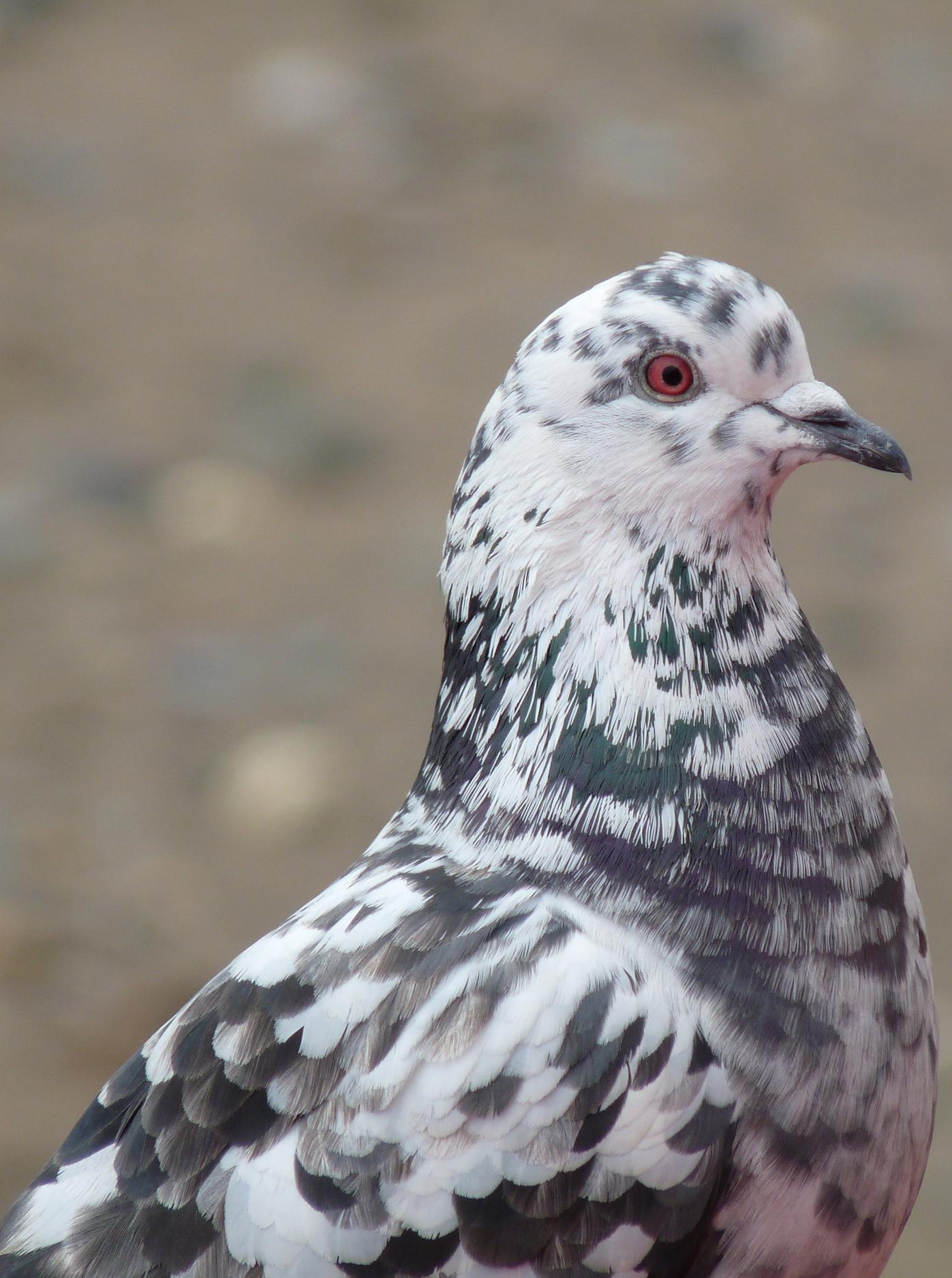 Feral_Pigeon_(4407522998).jpg