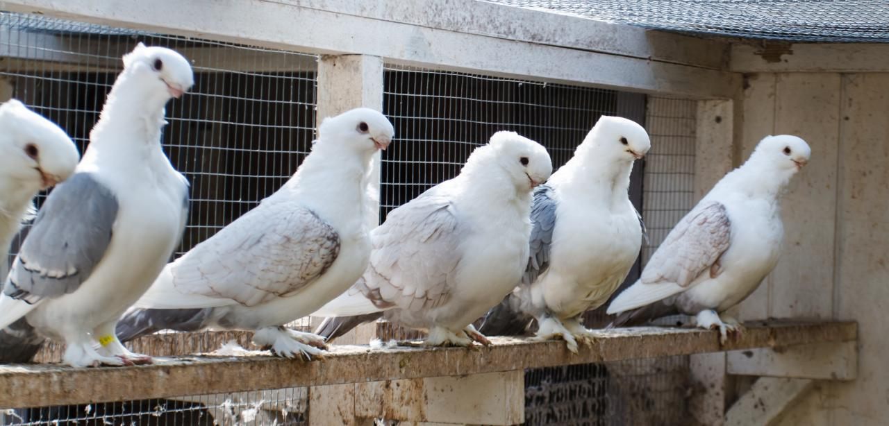 Some fancy pigeons of the Oriental frill variety. Image by Ómar Runólfsson
