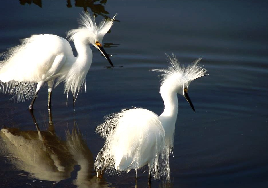 Snowy egrets in breeding plumage.
