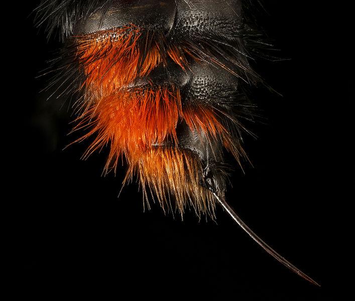 A velvet ant's stinger
