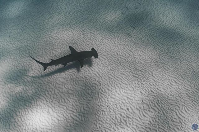 View from the top 🦈💙 . . . . . #greathammerhead #sharks #ocean #underwater #explore #expedition #scuba #diving #freediving #photography #fish #reef #bahamas #bimini #marinelife  #savethesharks #welivetoexplore #tb #instadaily #photooftheday #instagood #instamoment #instapic #saltylife #scuba #adventure #travel #animals #nature #diving