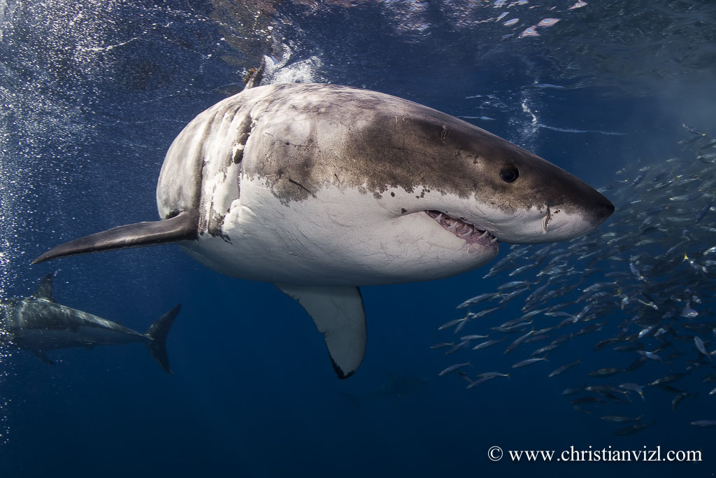GREAT WHITE SHARKS -