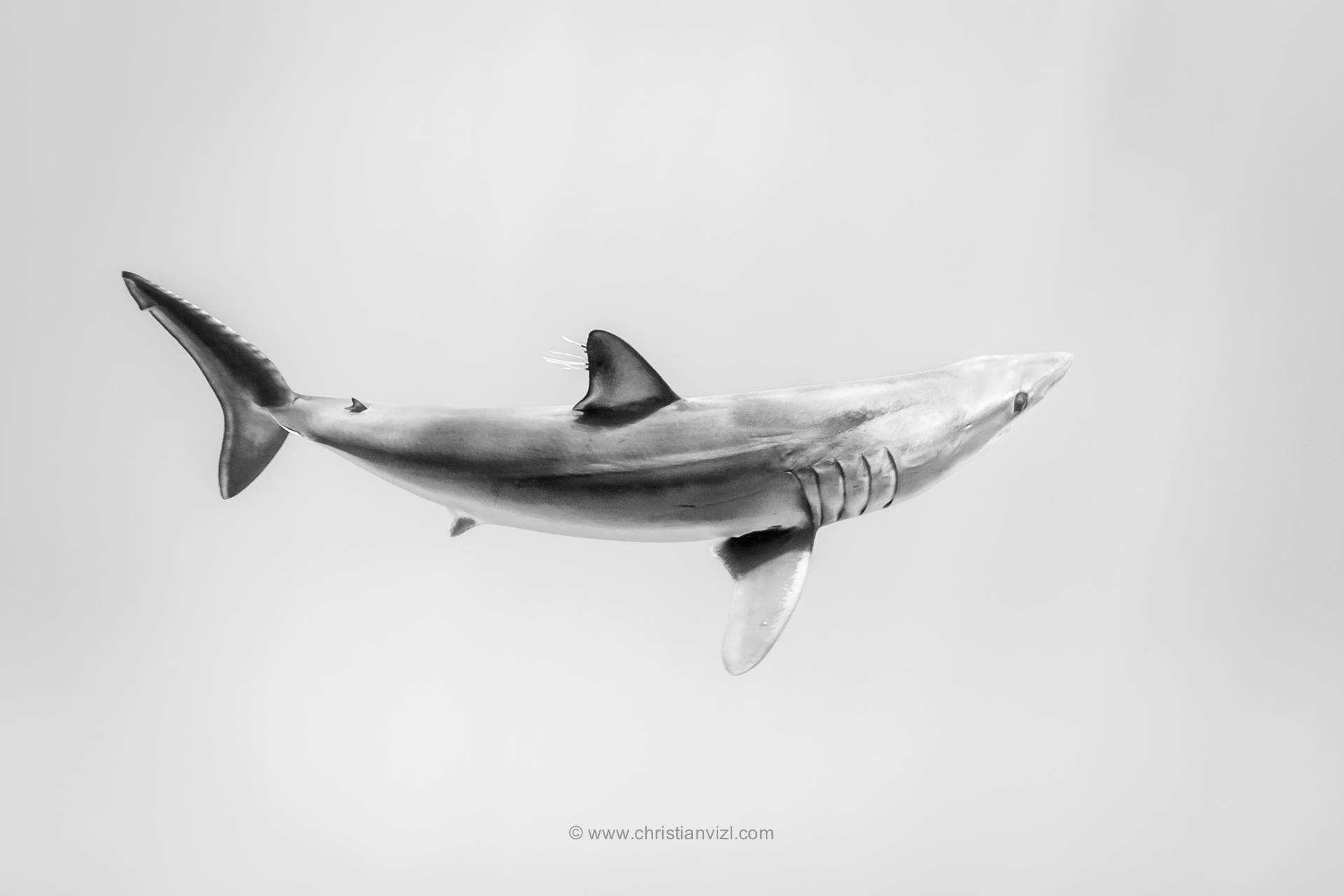MAKO SHARK 06.jpg