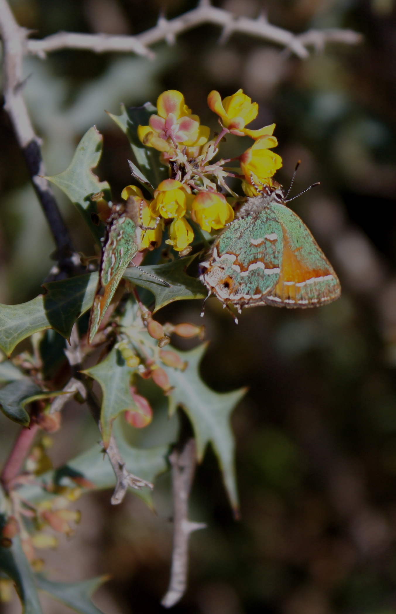 Juniper Hairstreak on Agarita.JPG