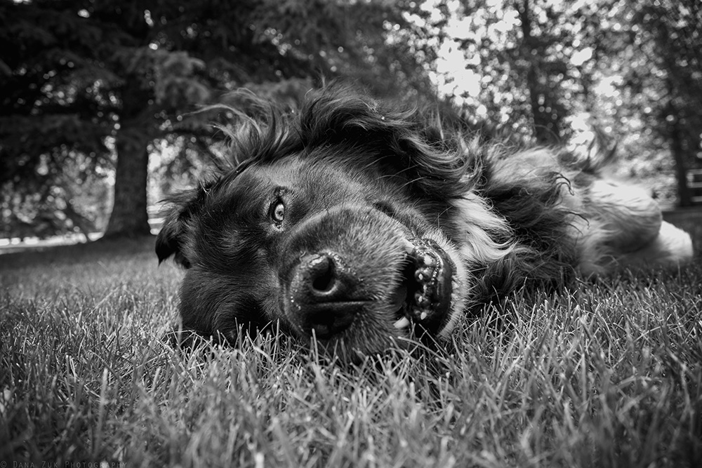 Day #3 of the 5 Day of Black & White Photo Challenge.... My ridiculously silly dog. Scotty is 200lbs of raw adorableness, and I have yet to meet another animal with as much heart and personality as him. I can still remember the first day we got him; In 2006, my dad and I were taking horses to an auction in Westlock. After waiting for our group of horses to go through the auction ring, we happened to come across an old farmer sitting in the corner of the hall with a box of puppies. While walking by, I couldn't help but stop to give them all a scratch on the head, because who in their right mind doesn't love puppies!? In turn, this old farmer mentioned that the puppies were going to new homes for free, and proceeded to put the biggest one from the box into my arms. With a big smile, and my best attempt at 'puppy eyes', I looked up at my dad with baby Scotty snuggling into my arms. Sure enough, dad nodded his head, shook the farmers hand, and off we went with a new member to the Zuk family. Since then, this dog brings so much light into my life; my babysitter and best buddy. Whether it's coming on photo walks with me, or protecting the house and yard from unwanted visitors... Scotty is truly incredible, and I couldn't imagine loving something more than this funny-face-making, hairy, bear-dog.