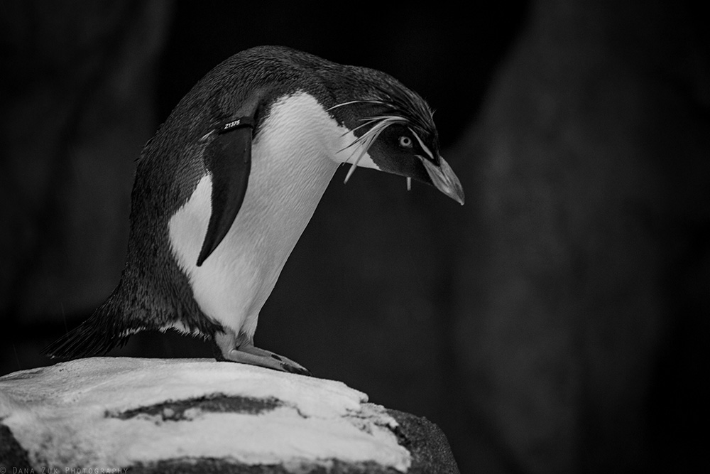 Day #4 of the 5 Days of Black & White Photo Challenge.... Unfortunately, I gotta make this one quick.... Anywho, more zoo animals! Yay! Another snap from back in June while visiting the zoo in Calgary after Metalfest. I LOVE penguins! They're one of my most favorite animals. Even though I do not have anything sentimental to write about this particular photo... It's always a joy to see these animals interacting with each other. Plus, watching them awkwardly waddle around on land, then gracefully glide through the water brings an instant smile to my face! Toooooo cute.