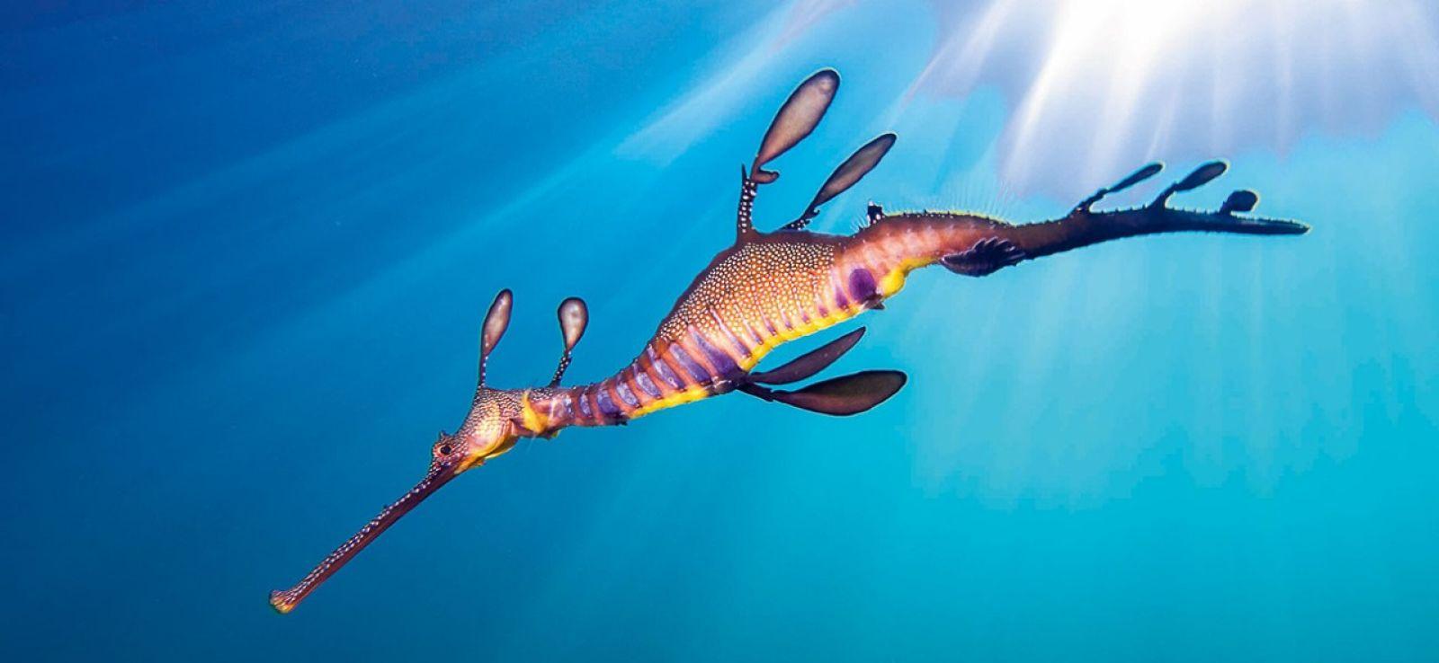 racv seahorse.jpg