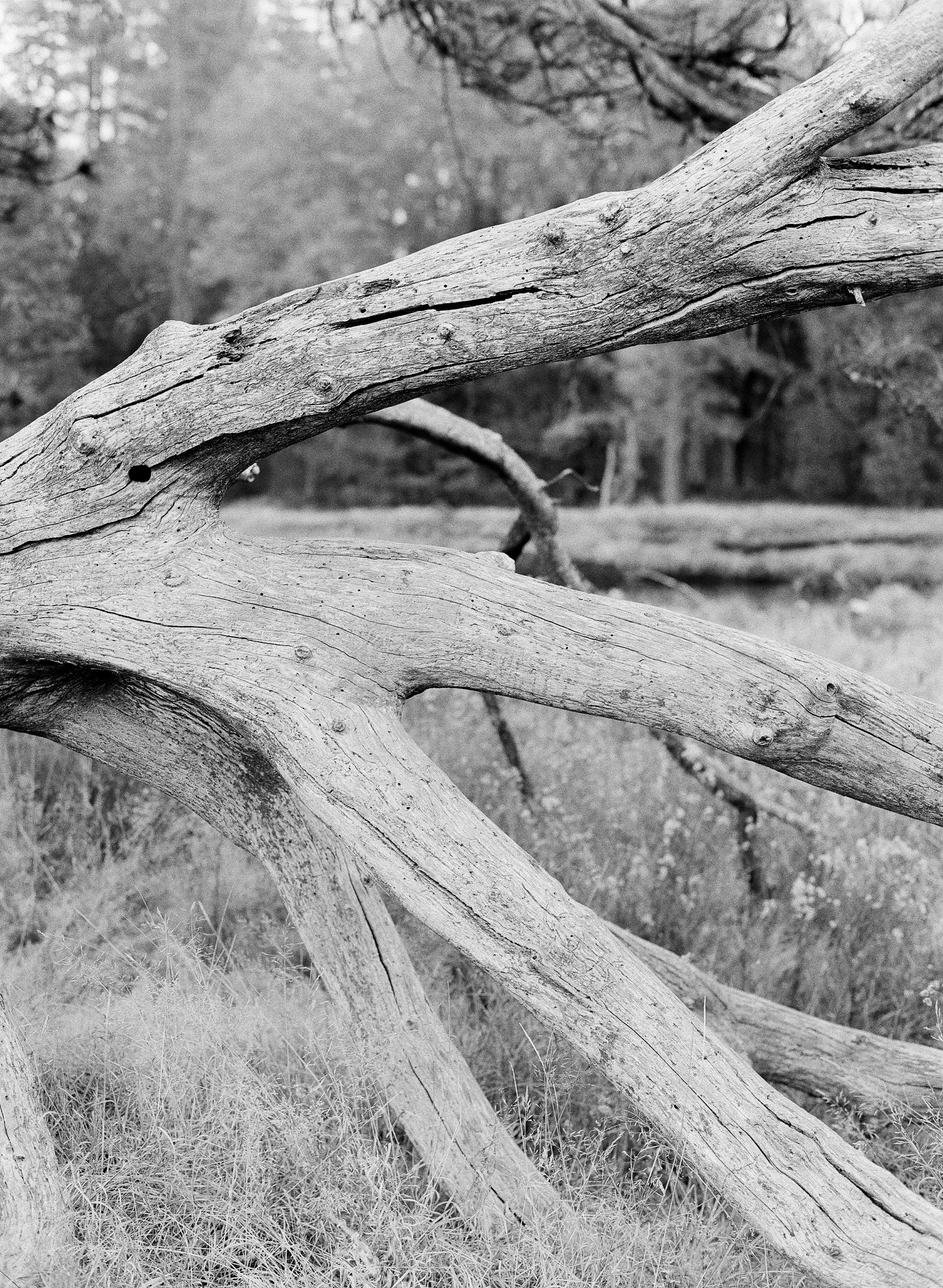 Branches, El Capitan Meadow