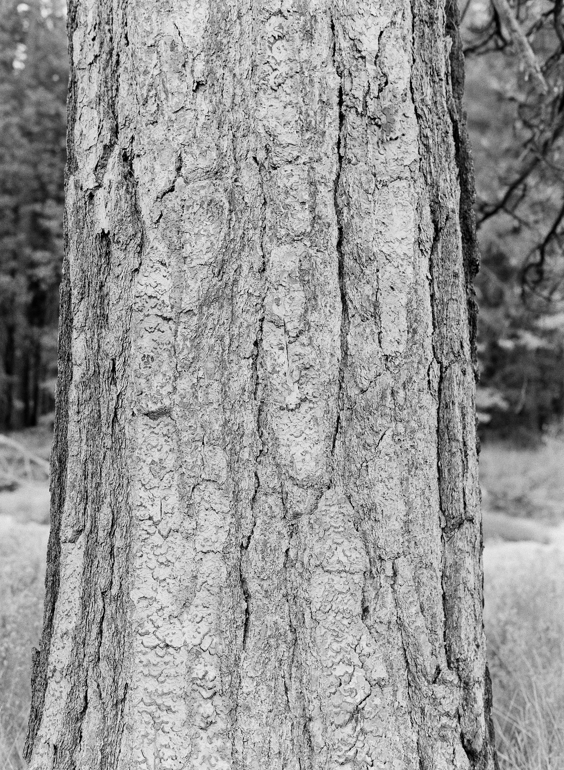 Bark, El Capitan Meadow