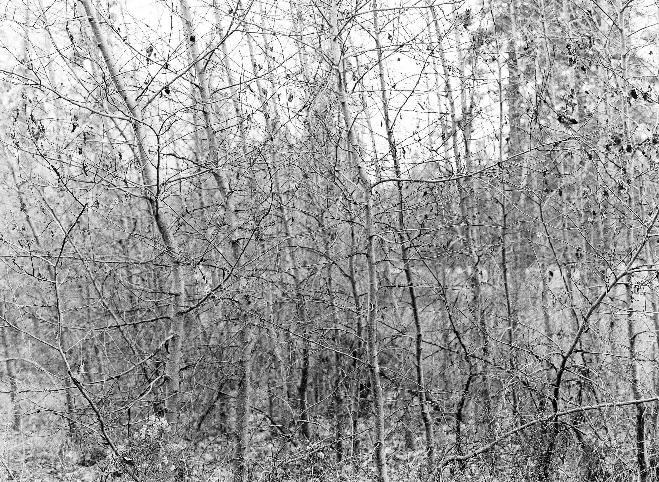 Aspens, El Capitan Meadow
