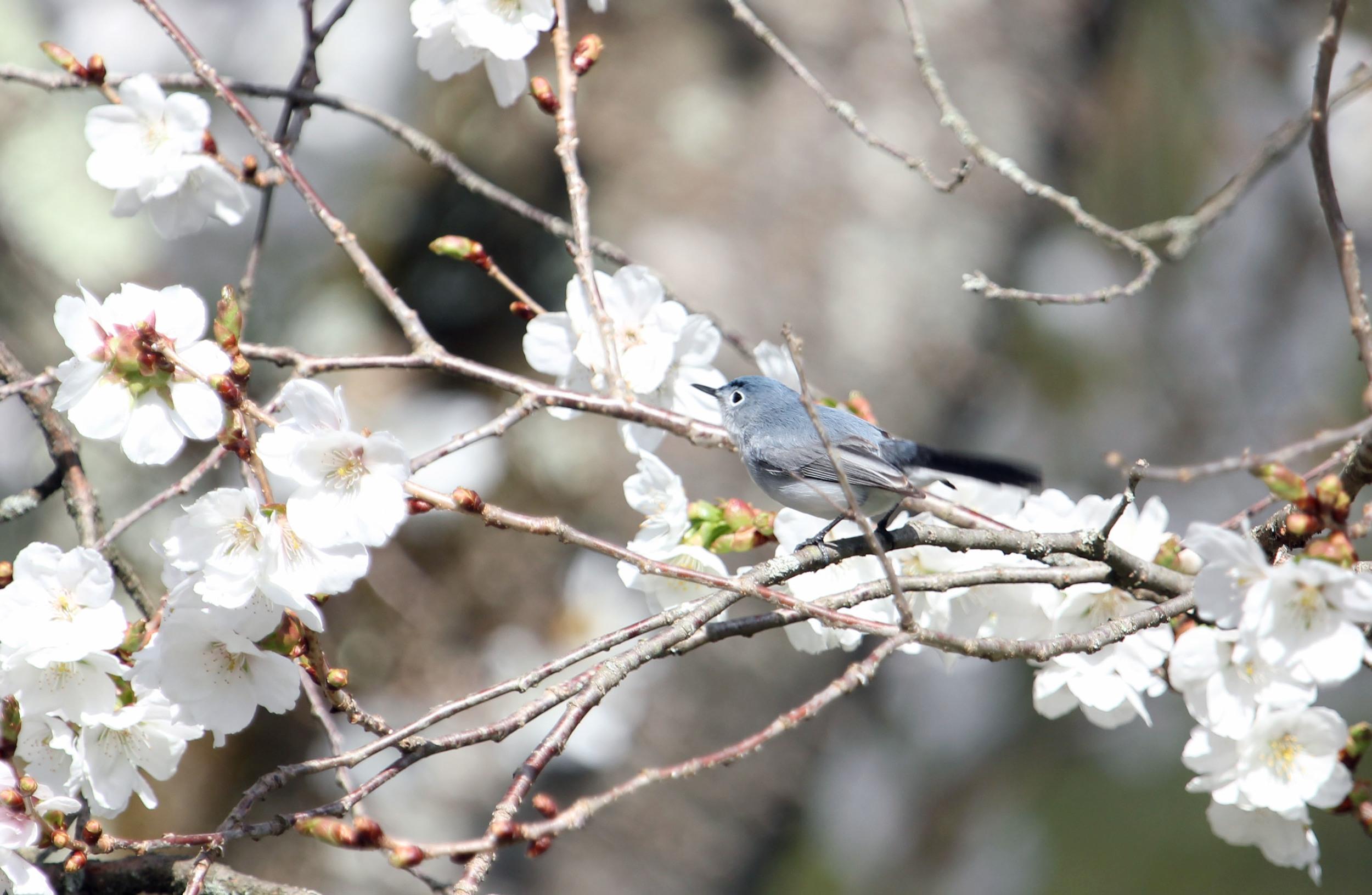 blue gray gnatcatcher.JPG