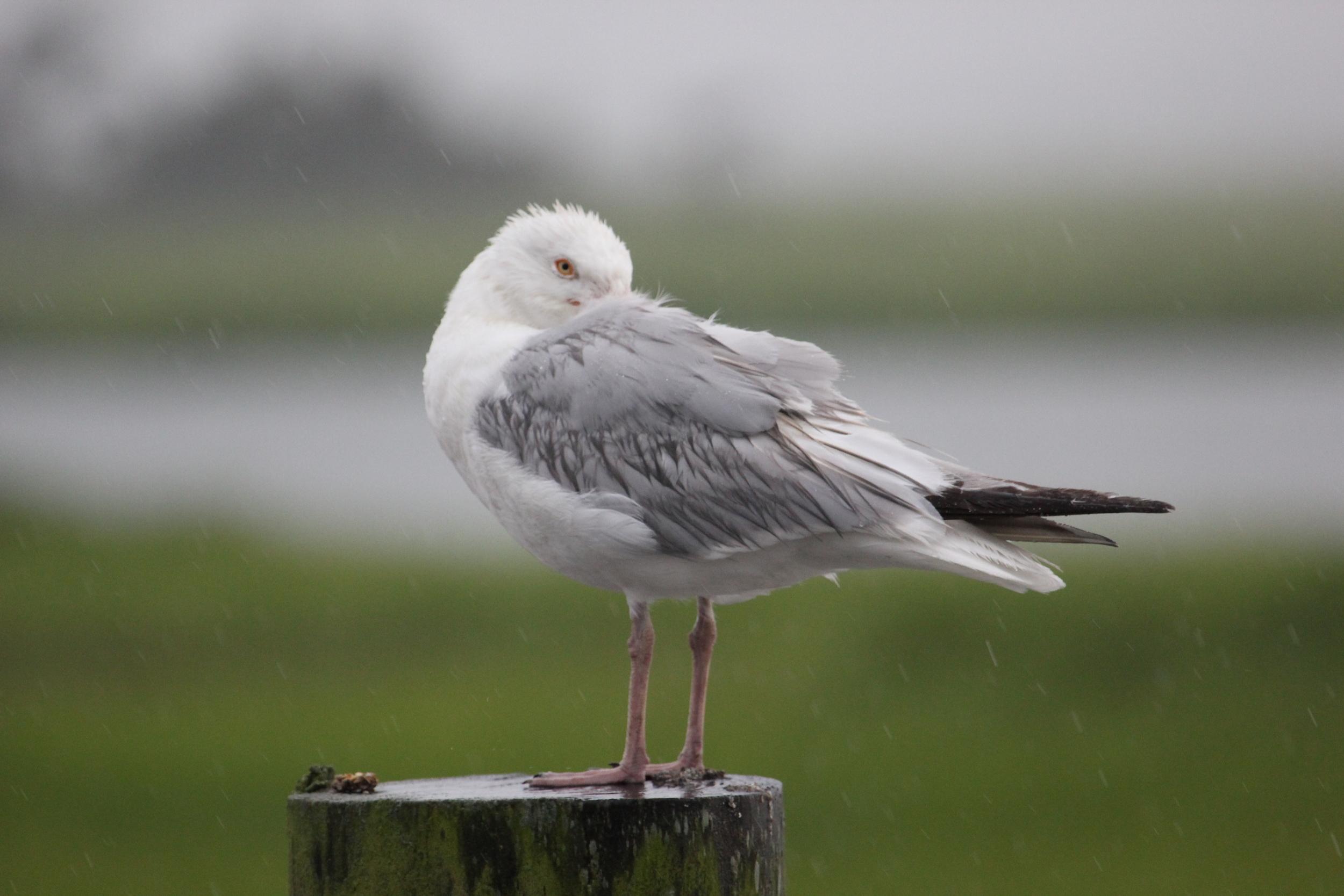 Herring Gull 2.JPG