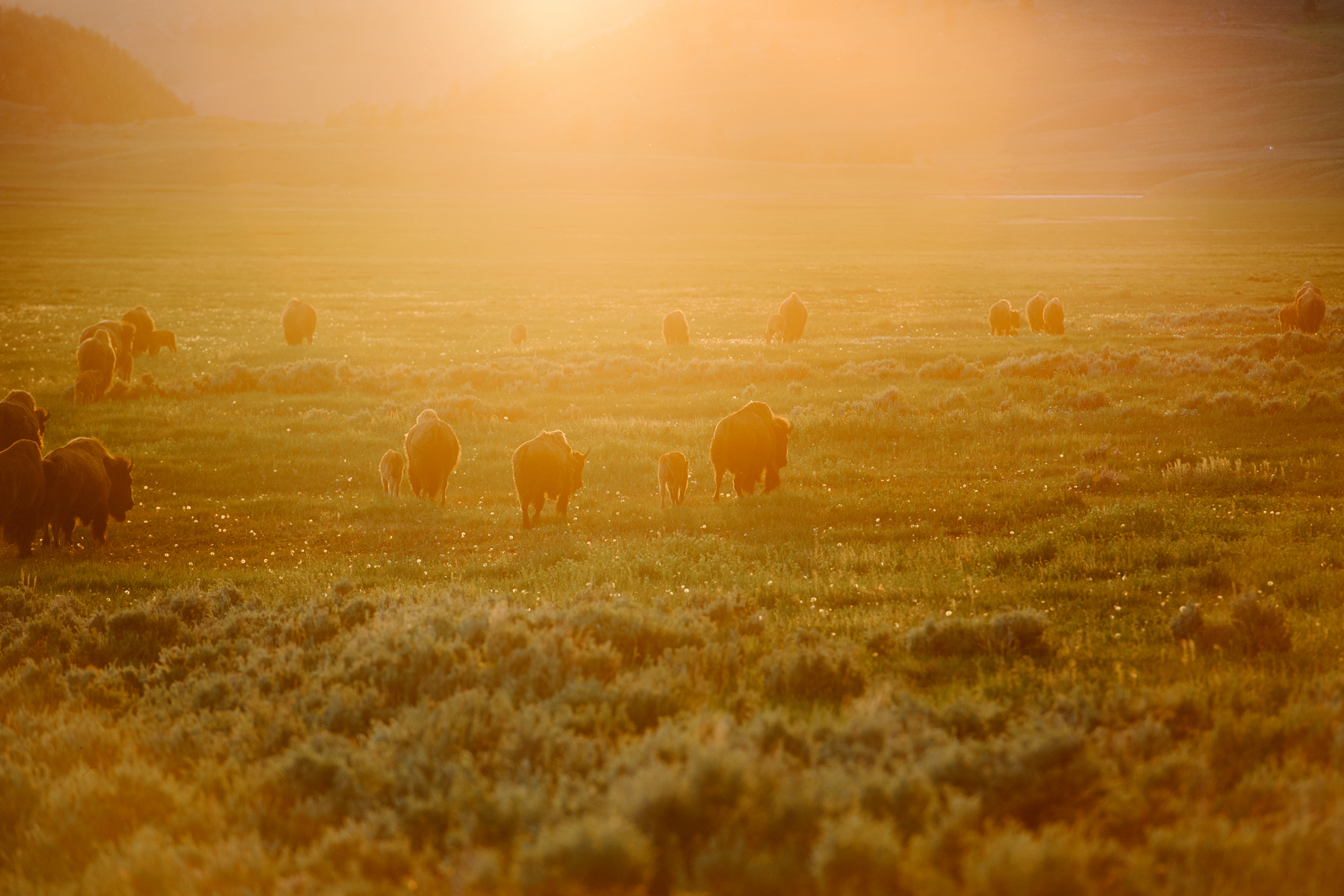 Bison-Sunset.jpg