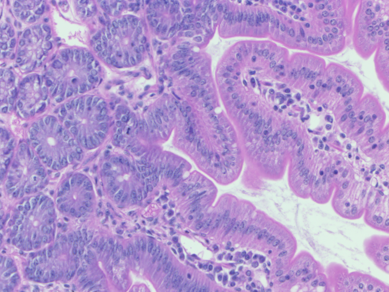 H&E stain of rat stomach tissue - 20X Zeiss AxioScan -MK 2015