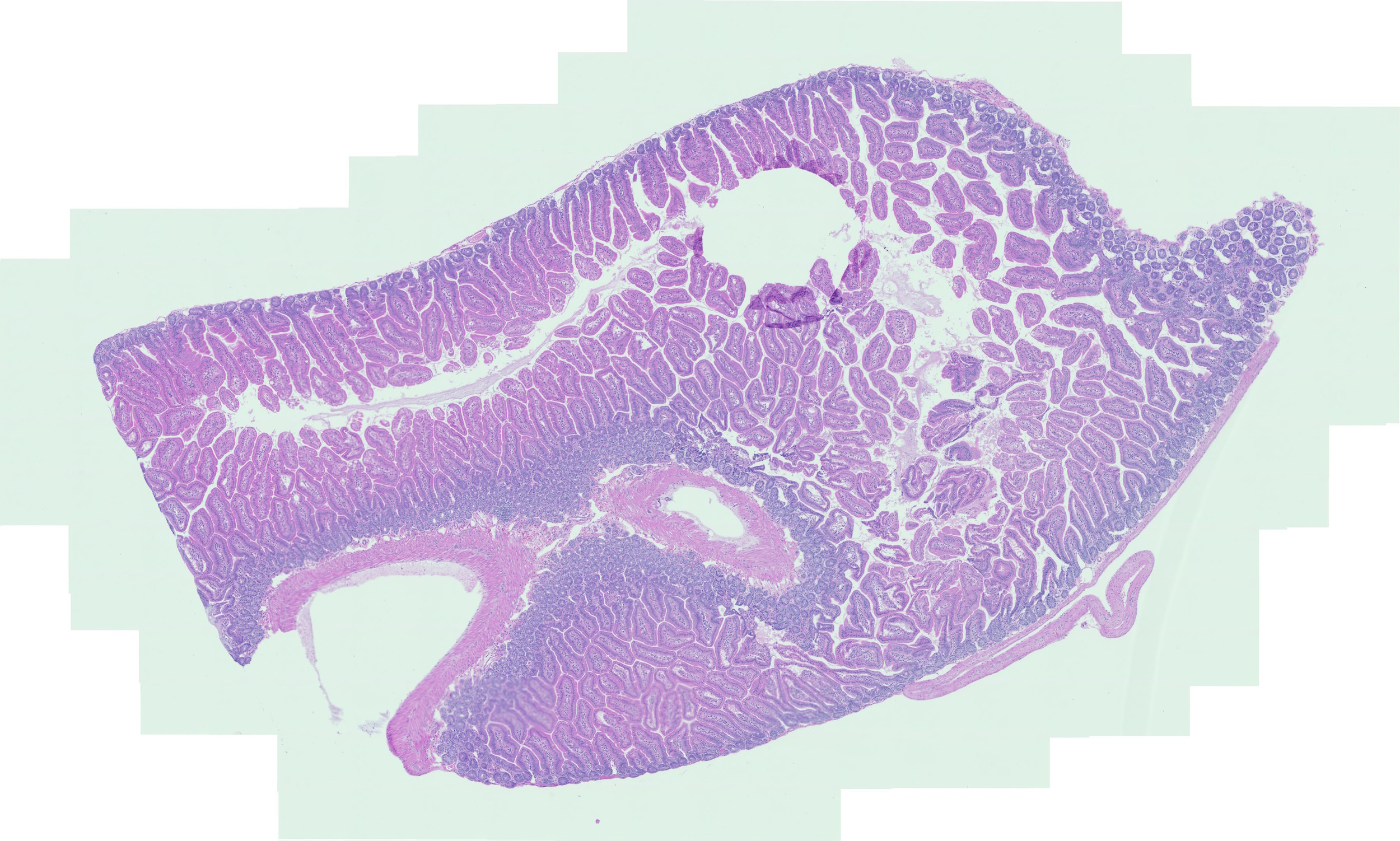 H&E stain of rat stomach tissue -20X Zeiss AxioScan -MK 2015