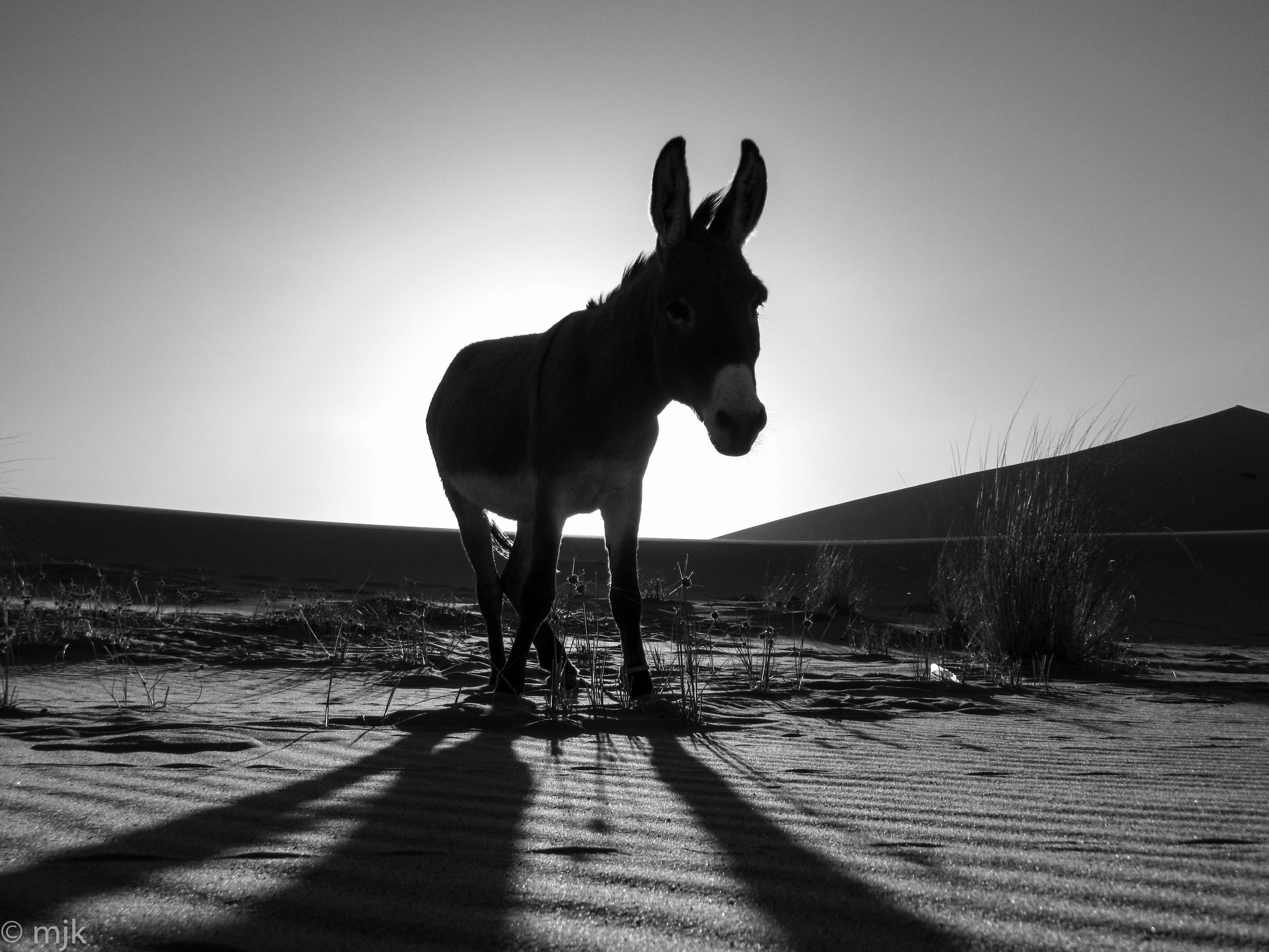 A donkey in the Sahara Desert outside Merzouga Morocco.