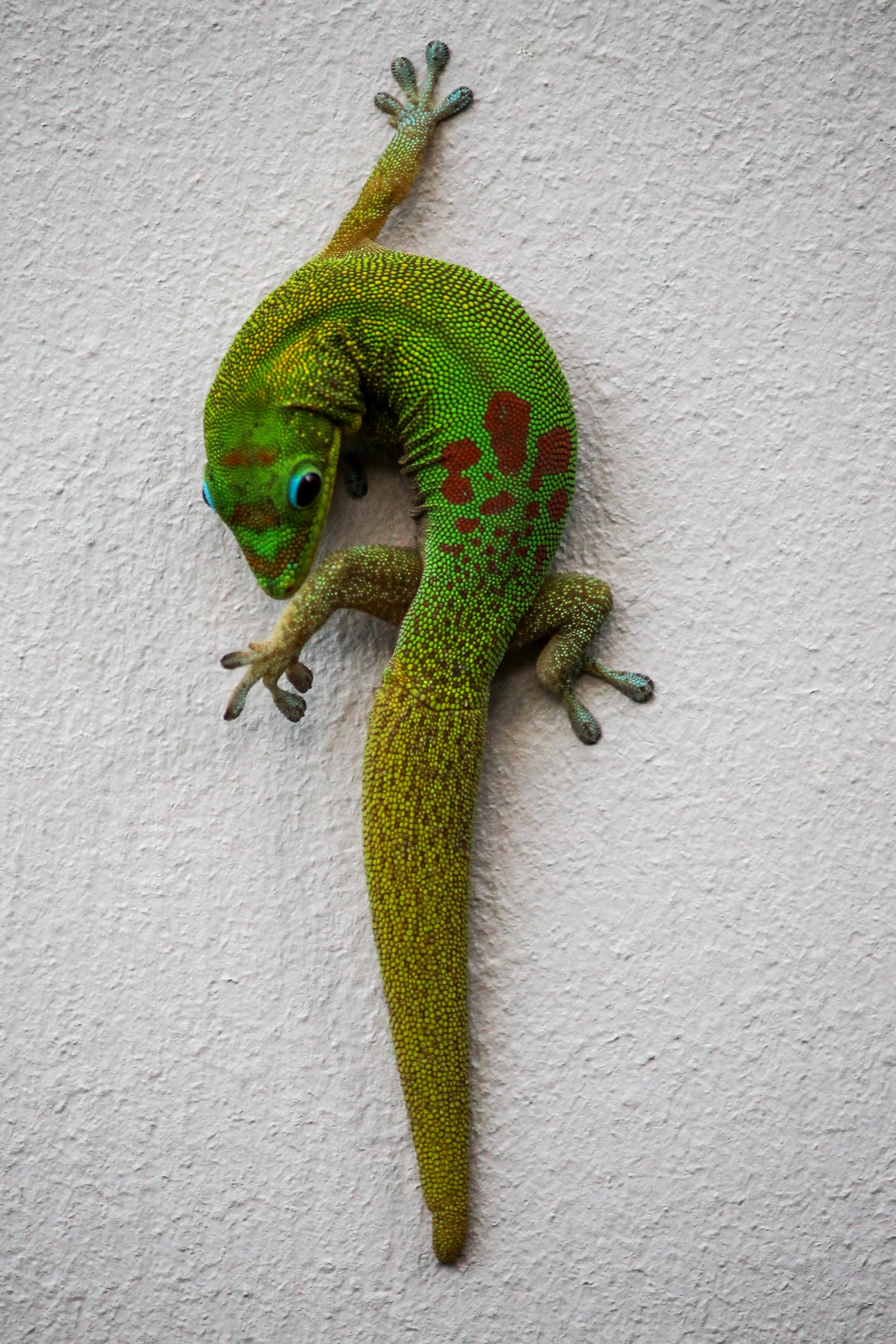 A  Gold Dust Day gecko on the island of Hawaii.