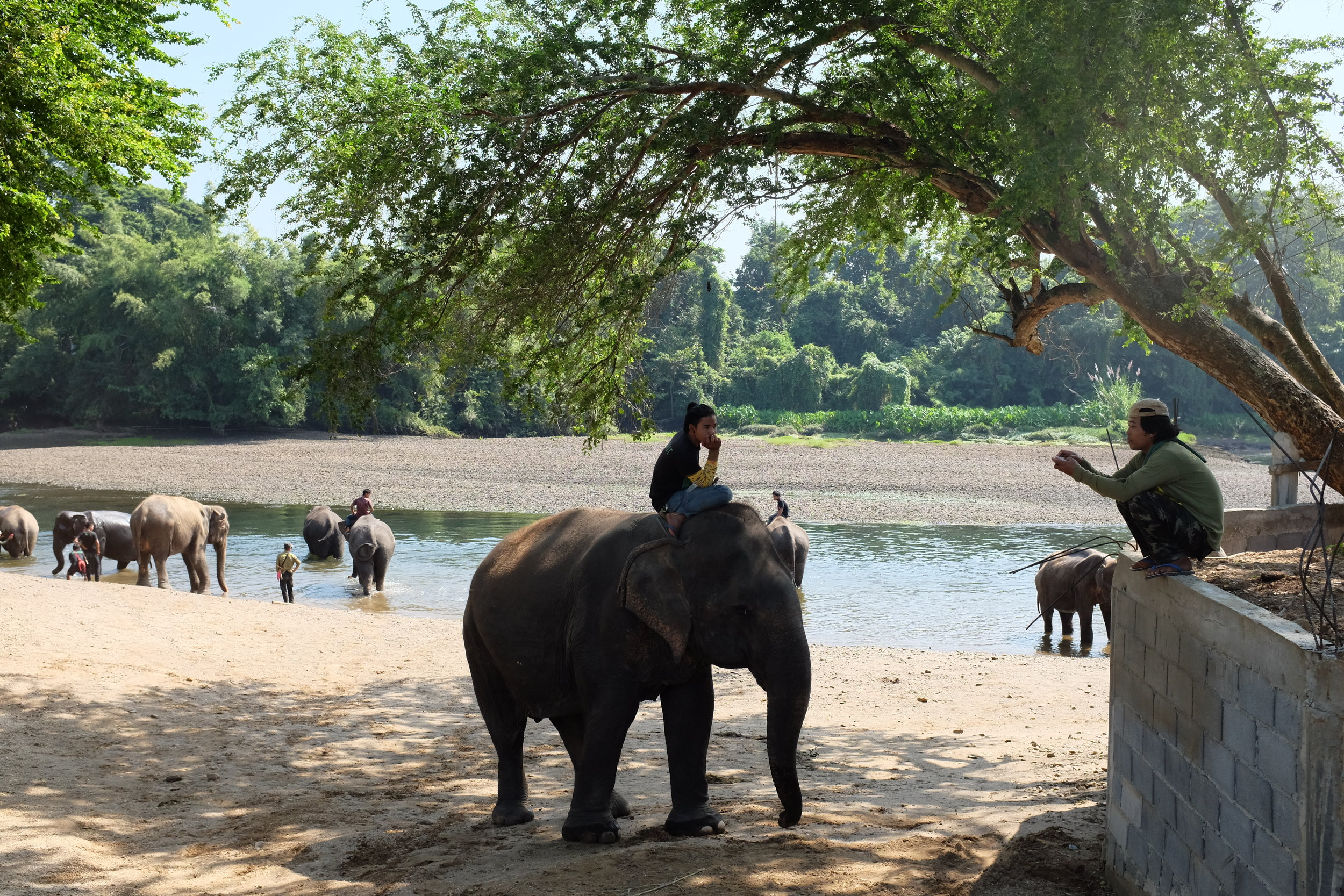 The mahouts walk their elephants to the river to bathe.