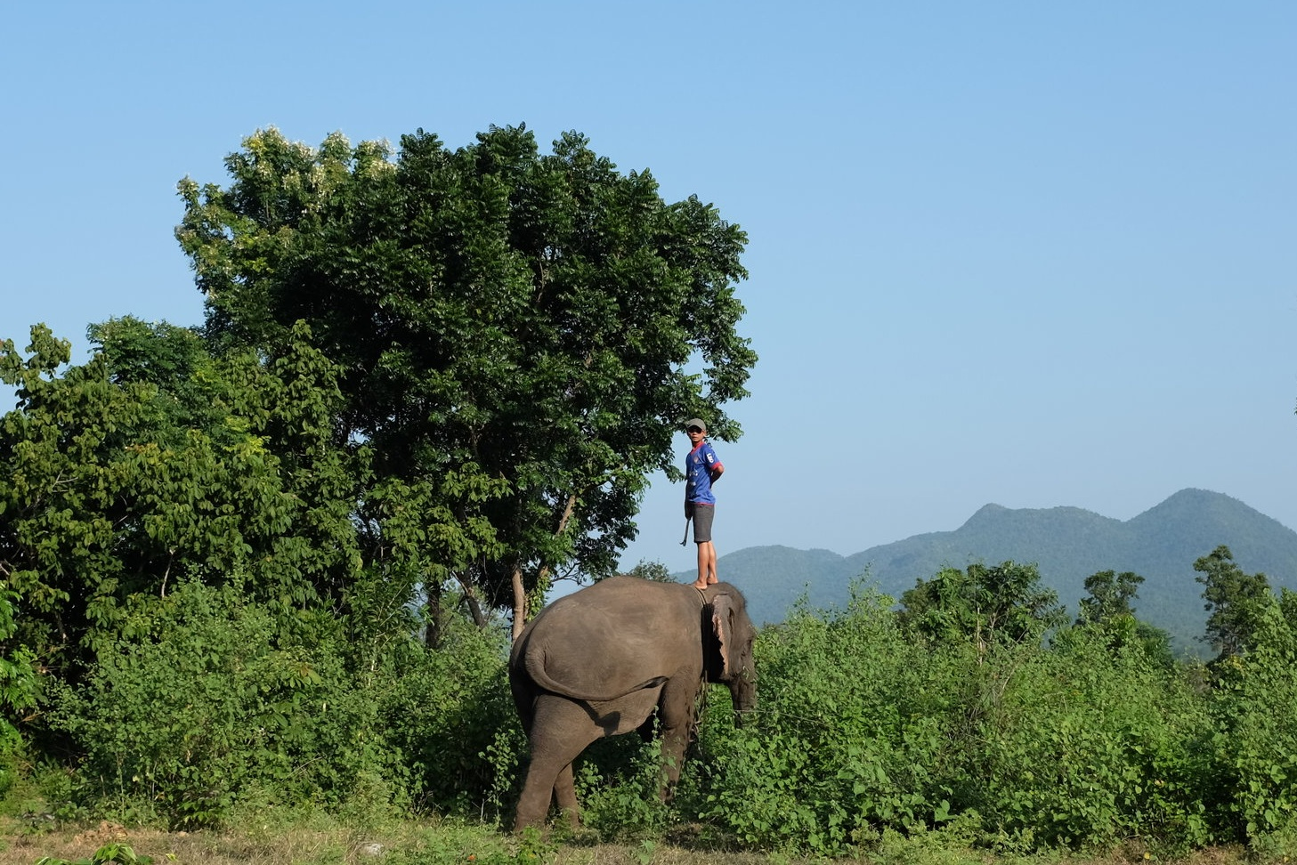 A mahout stands on his elephant's back to look over the thick forest brush.