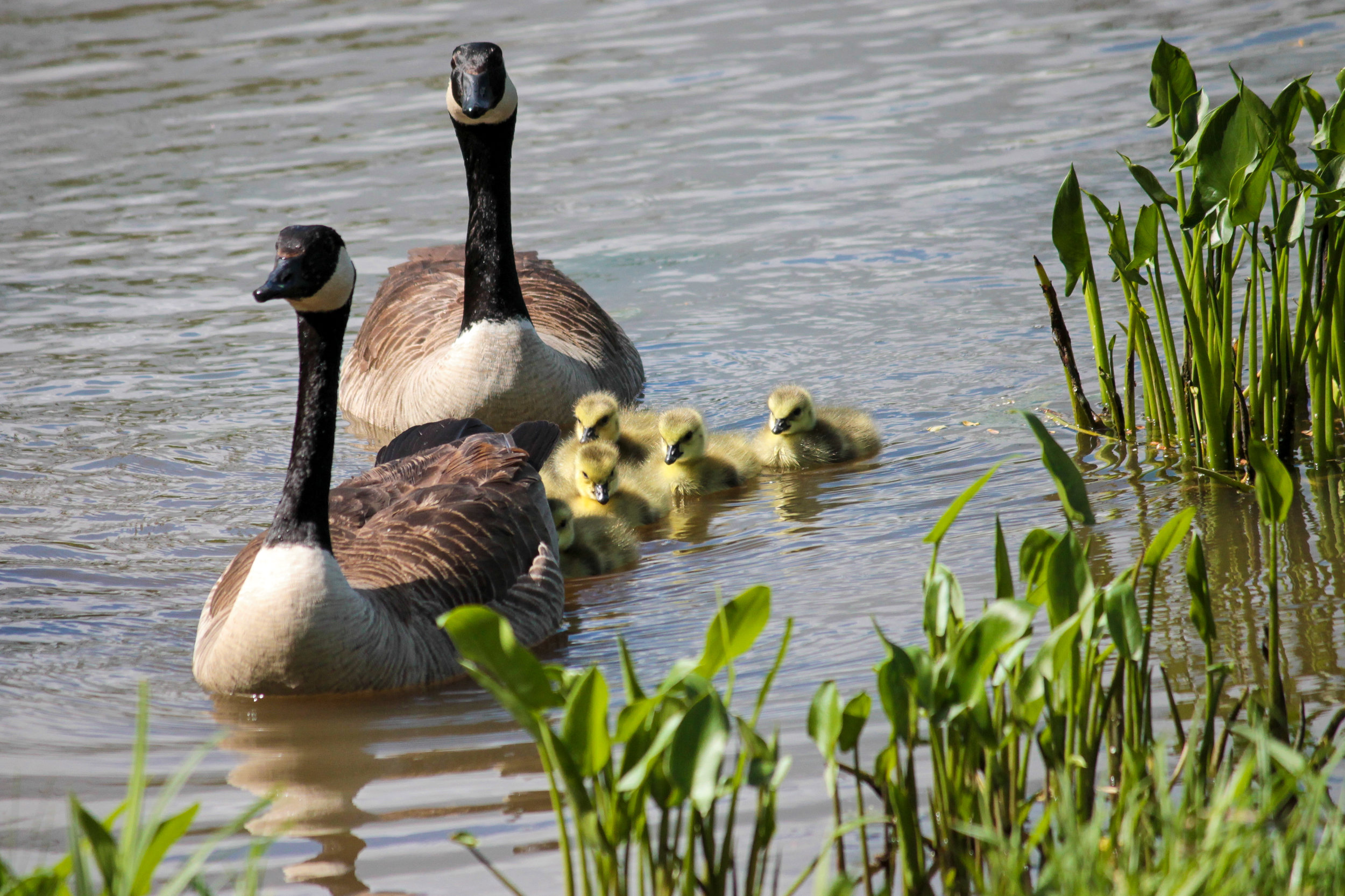 A family of geese in Granville, Ohio.