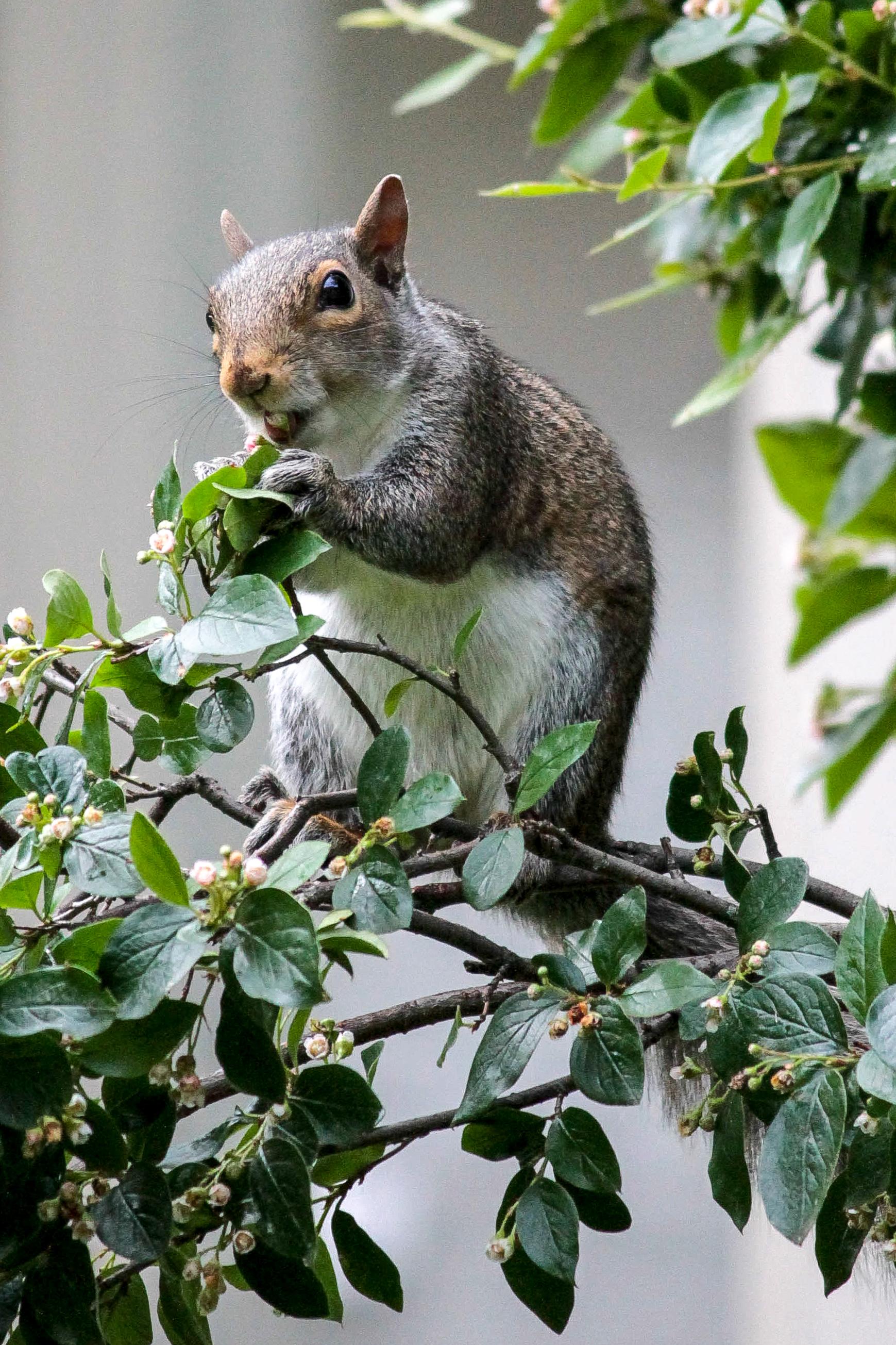 A squirrel eats berries in Milwaukee, Wisconsin.