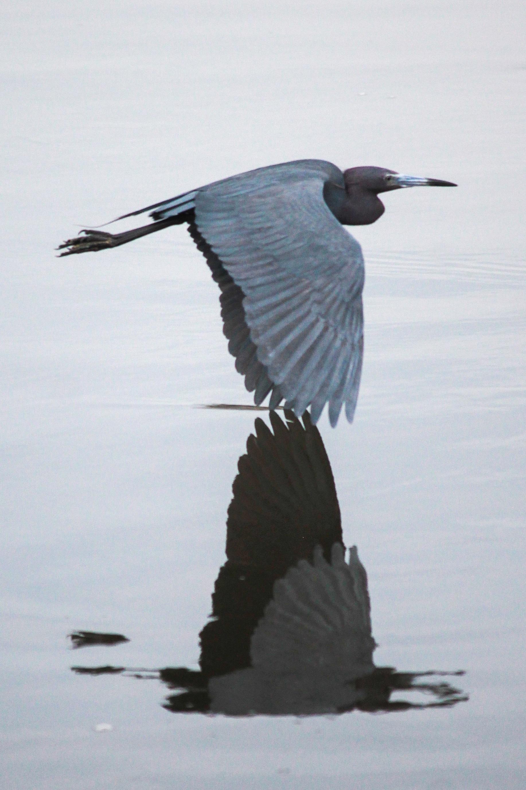 A blue heron flys over the JN Ding Darling National Wildlife Refuge in Sanibel, Florida.