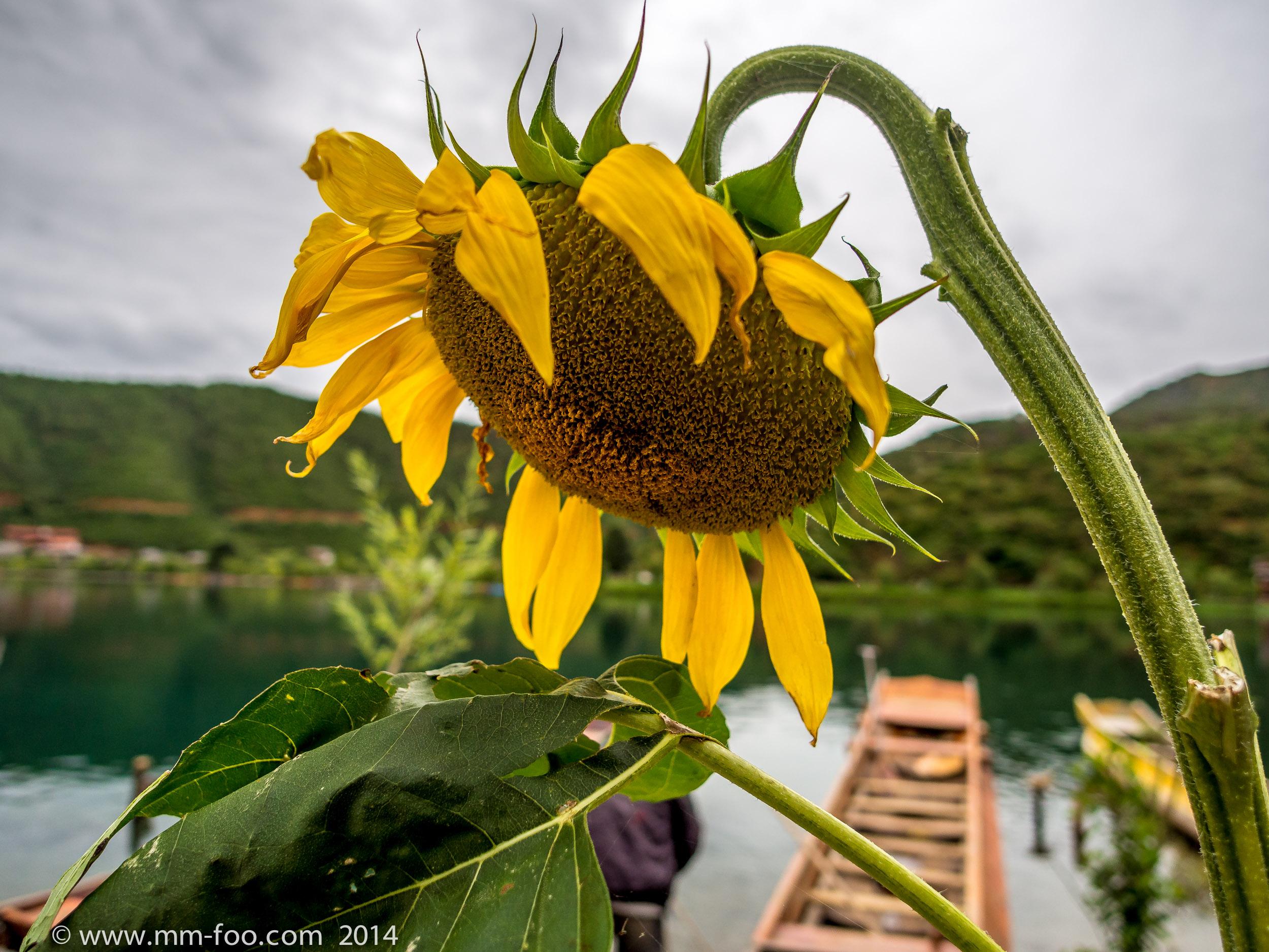 a sad sunflower