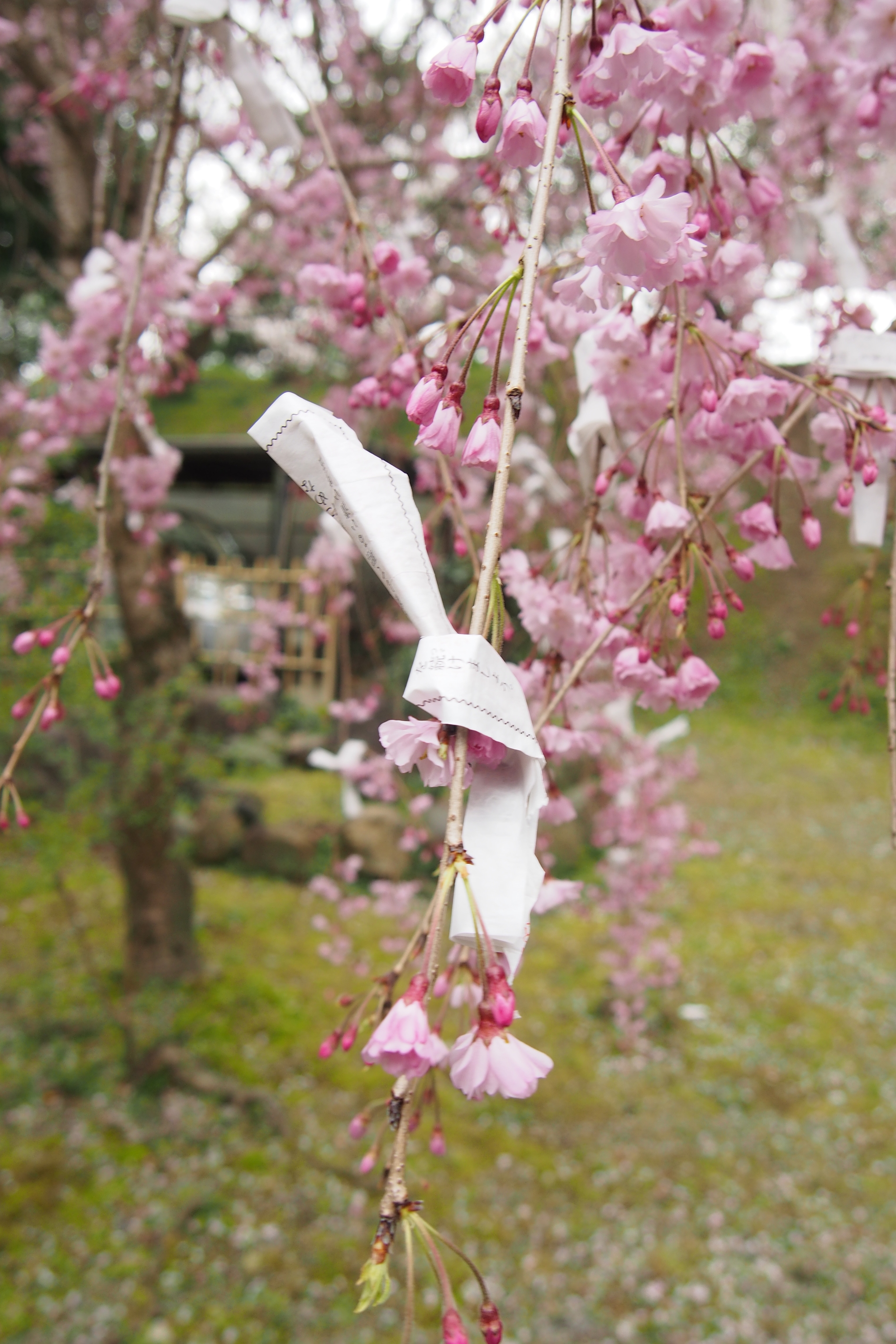 This entire sakura was tied with little bits of paper like this one - I think they're probably from omikuji -Japanese fortune telling.