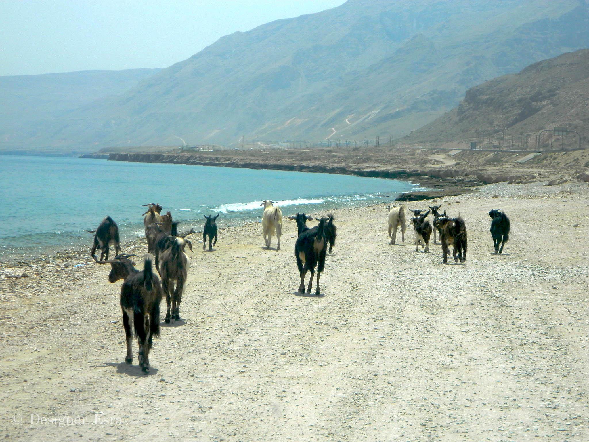 Adventurous Mountain Goats