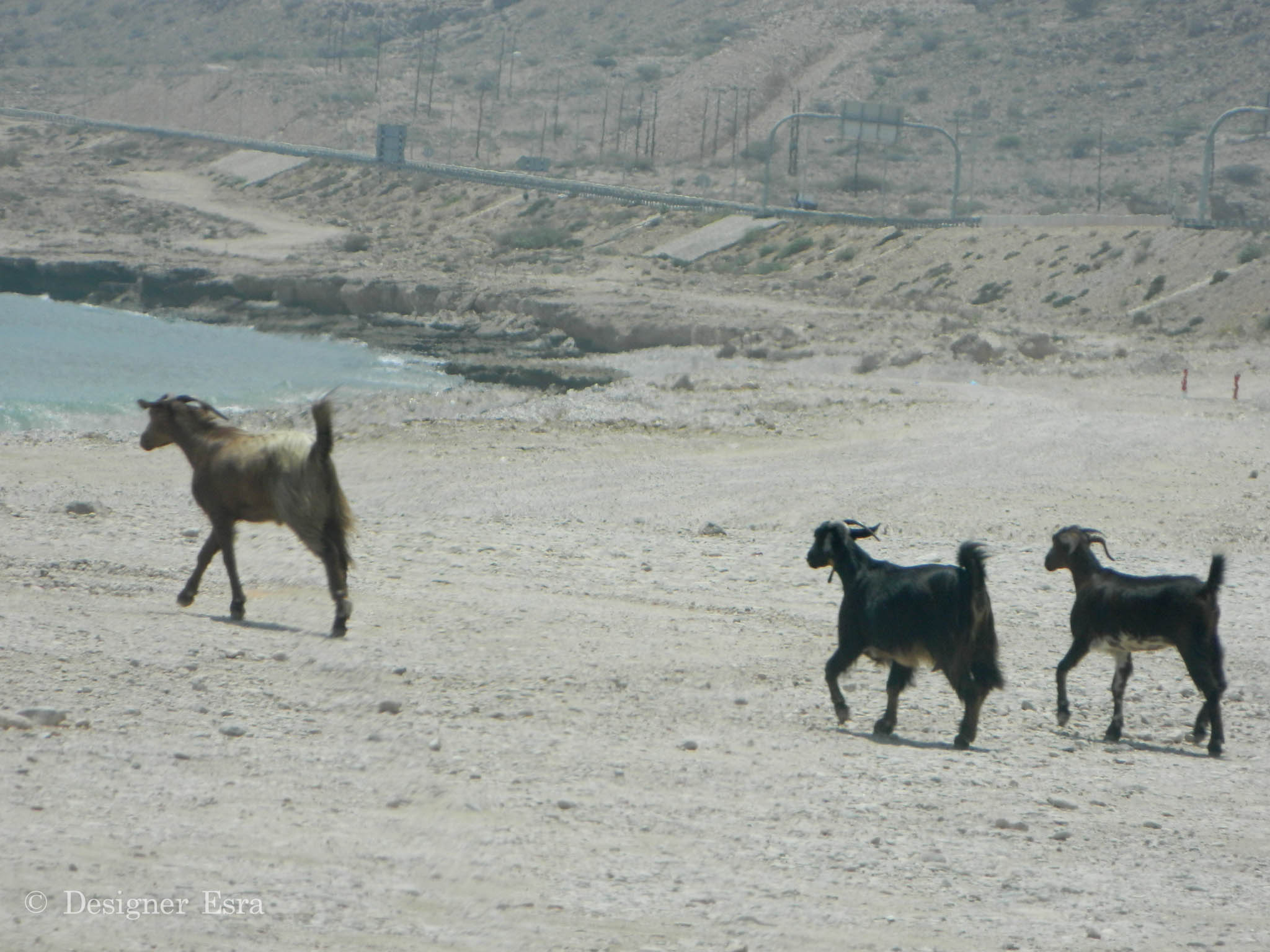 Beach Goats