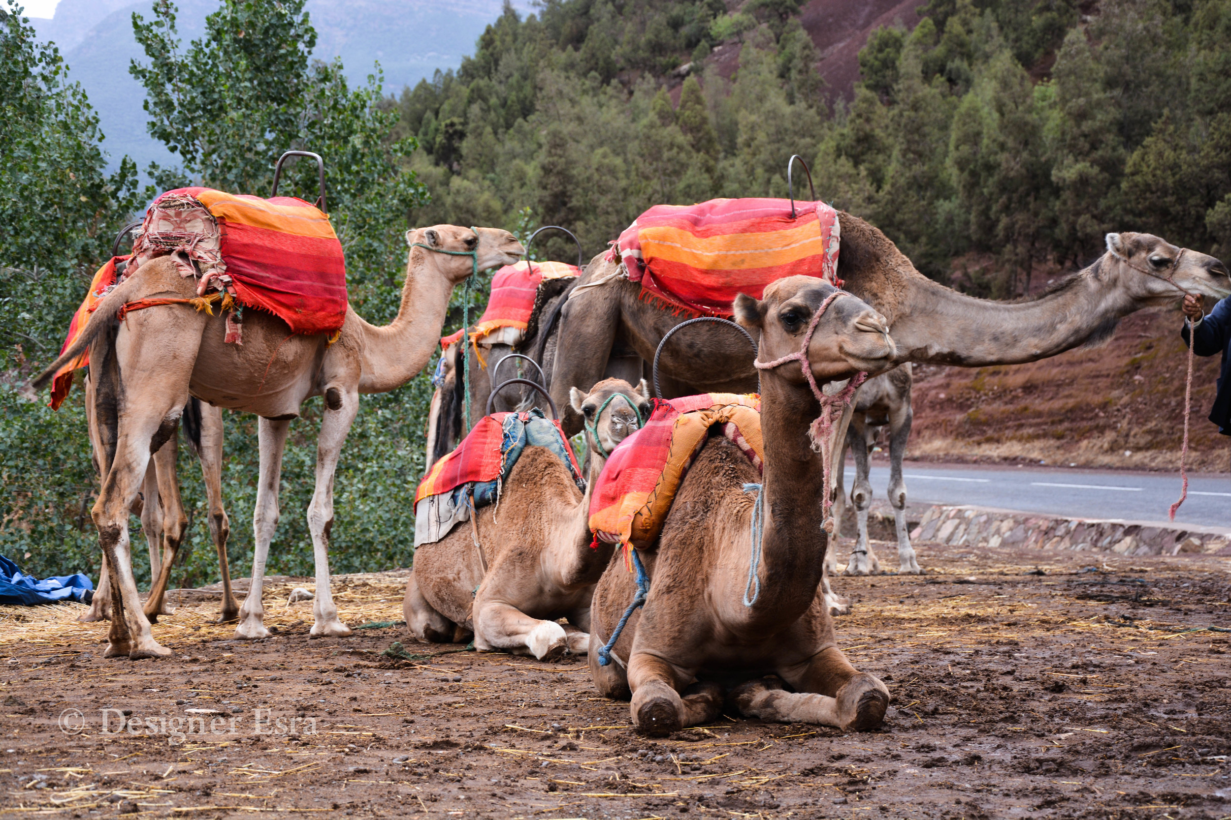 Moroccan Camels Chilling