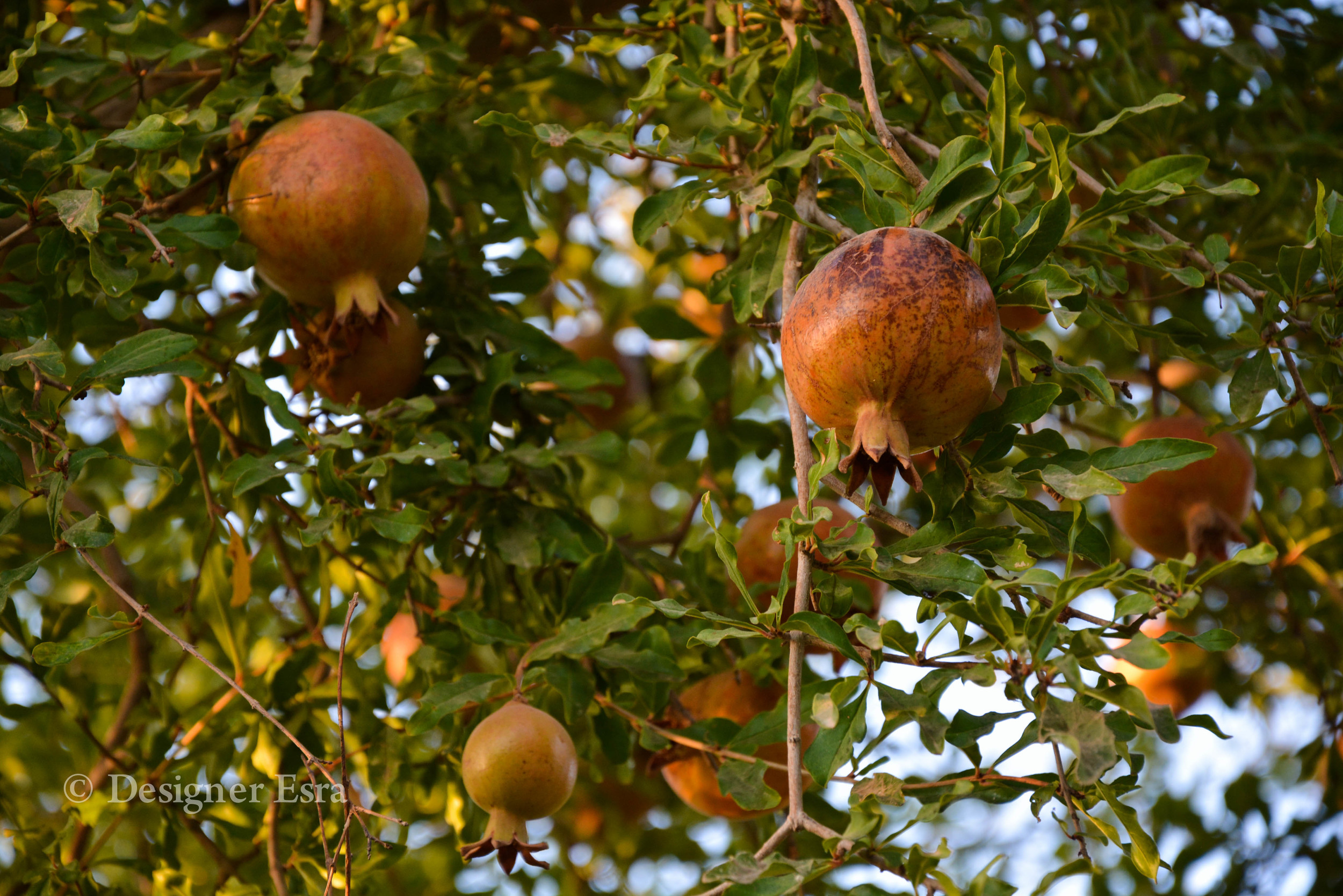 Iranian Pommegrants in Yazd, Iran