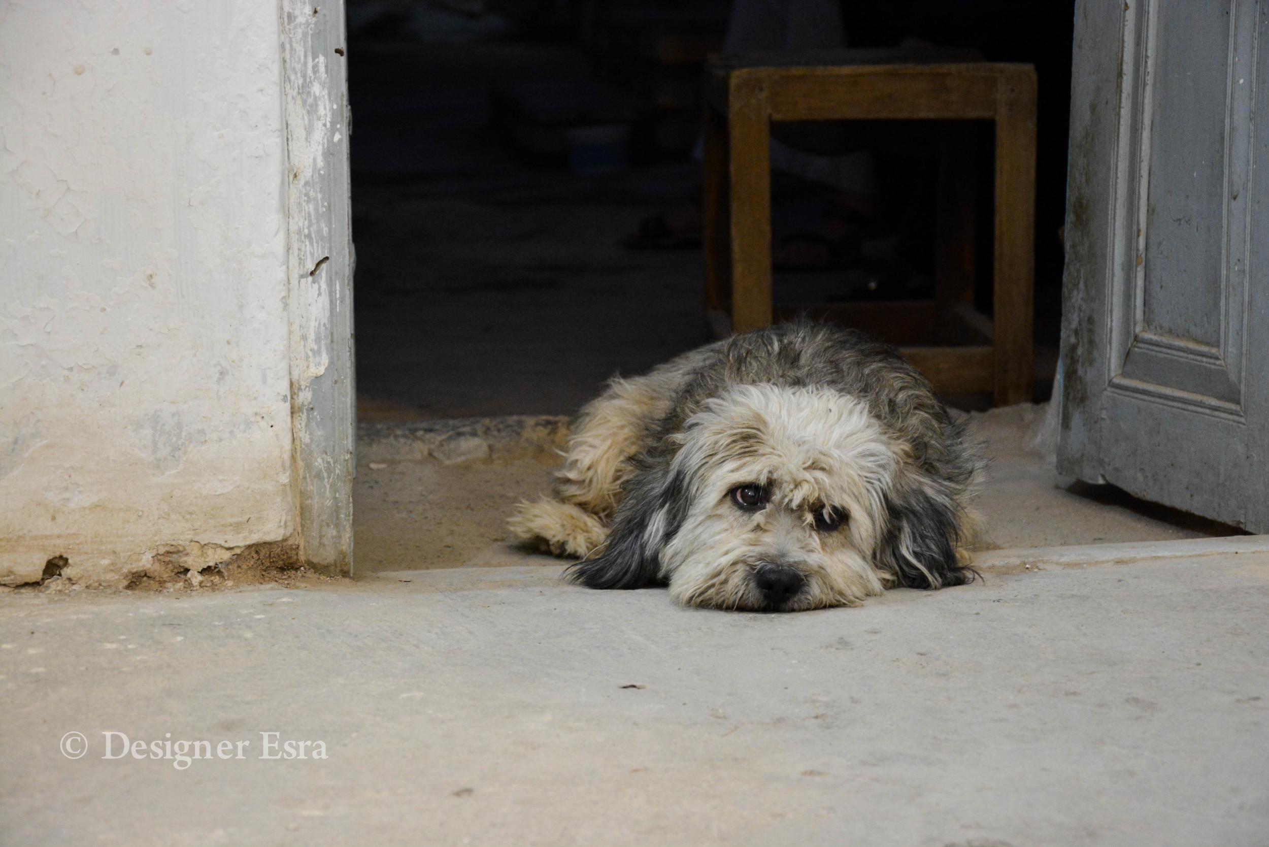 Esfahani Dog