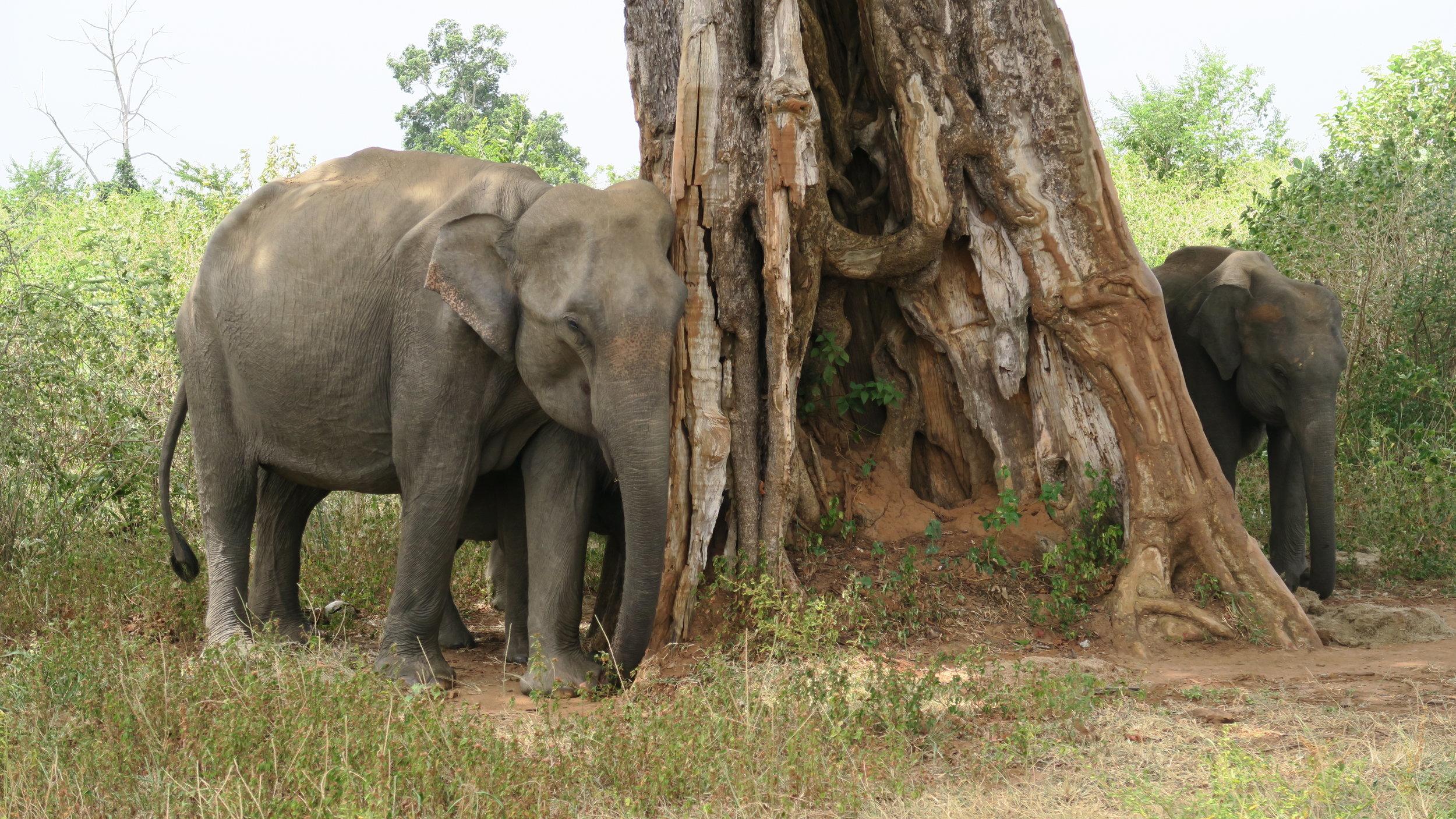 حديقة أودوالاو الوطنية لرؤية الفيلة في سريلانكا