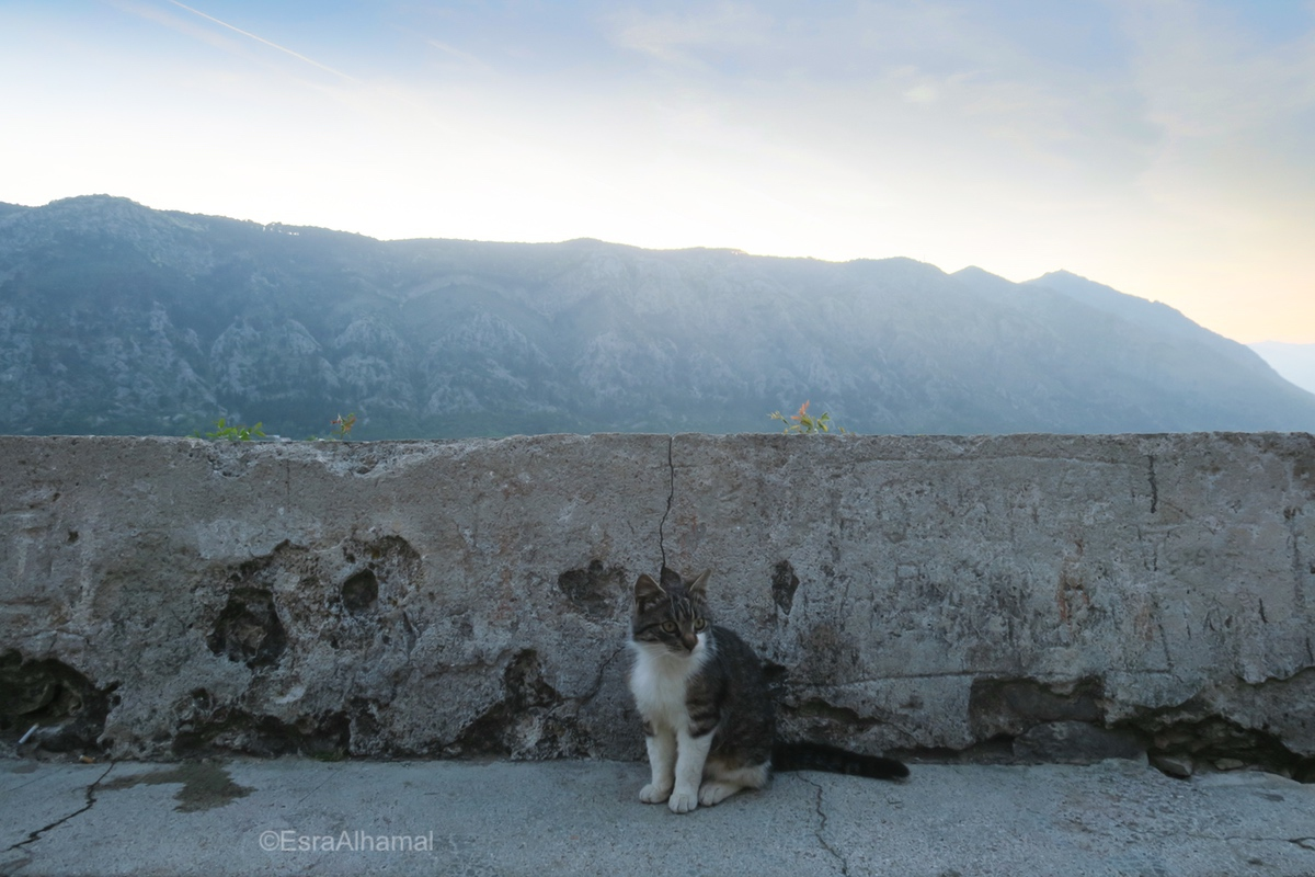 Cats of Kotor, Montenegro